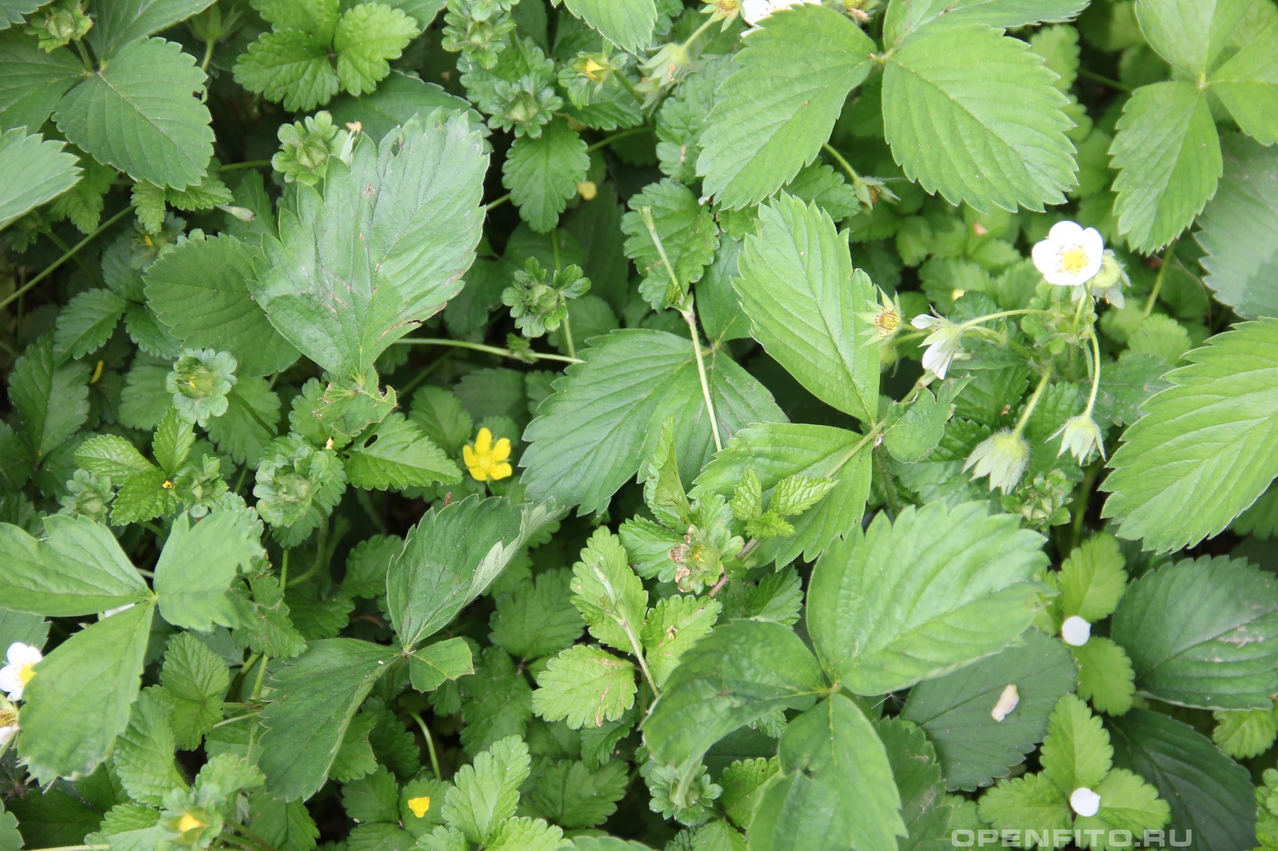 Дюшенея индийская и земляника клубника отличия растений