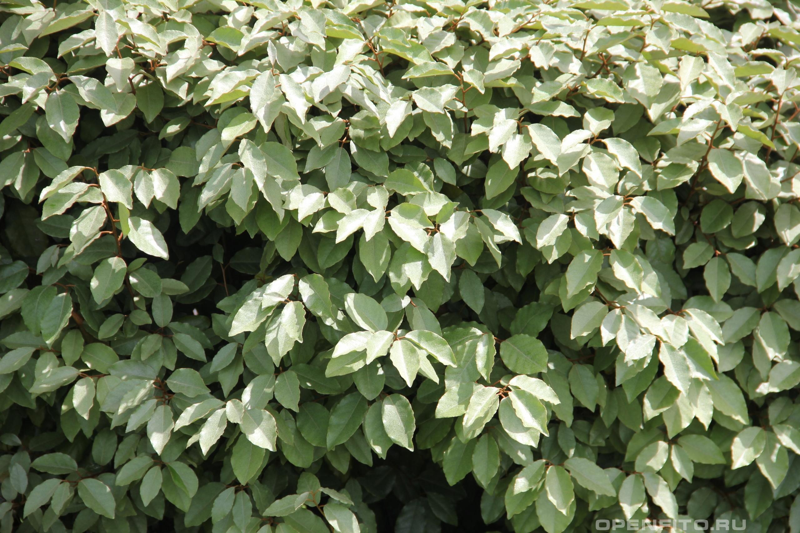 Лох Эббинге листья