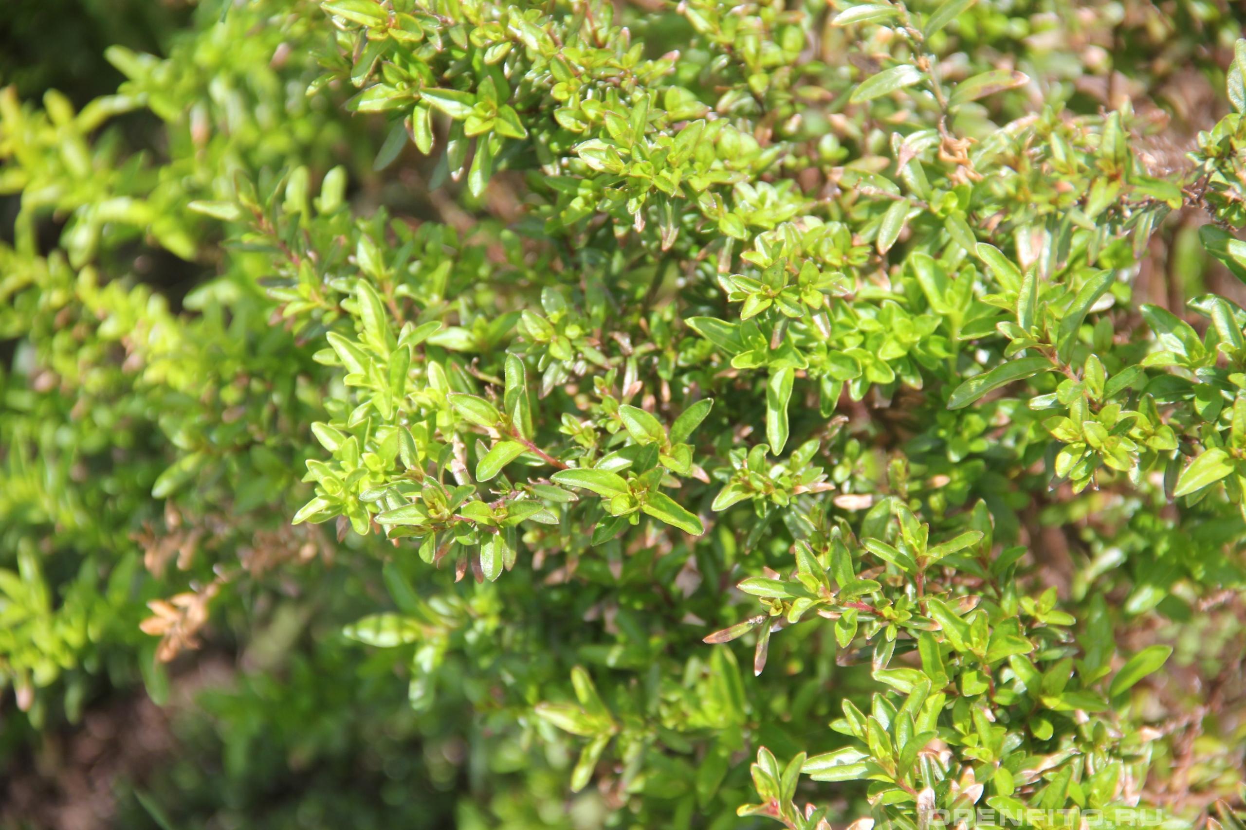 Куфея иссополистная листья