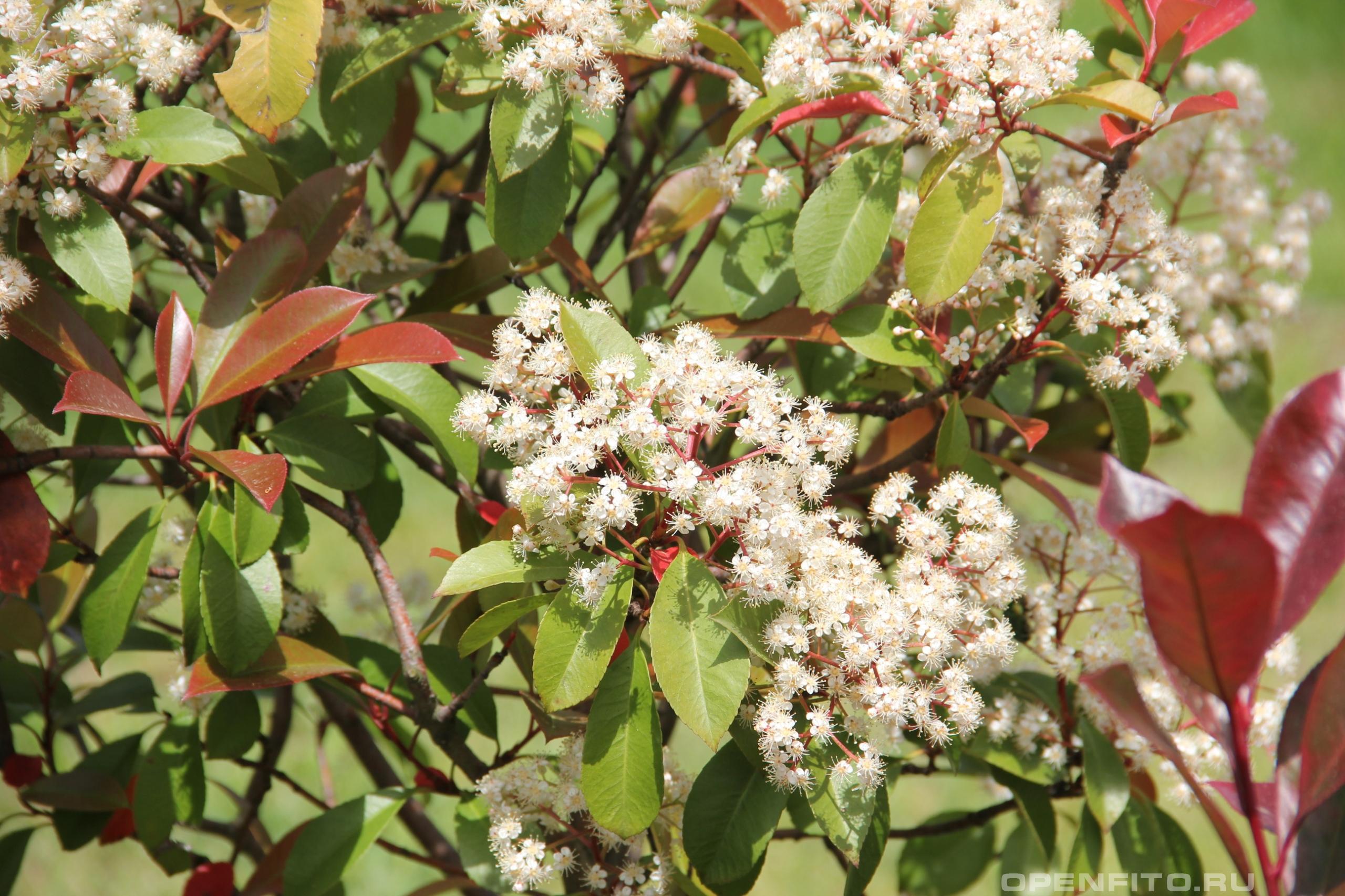 Фотиния Фразера лист и цвет