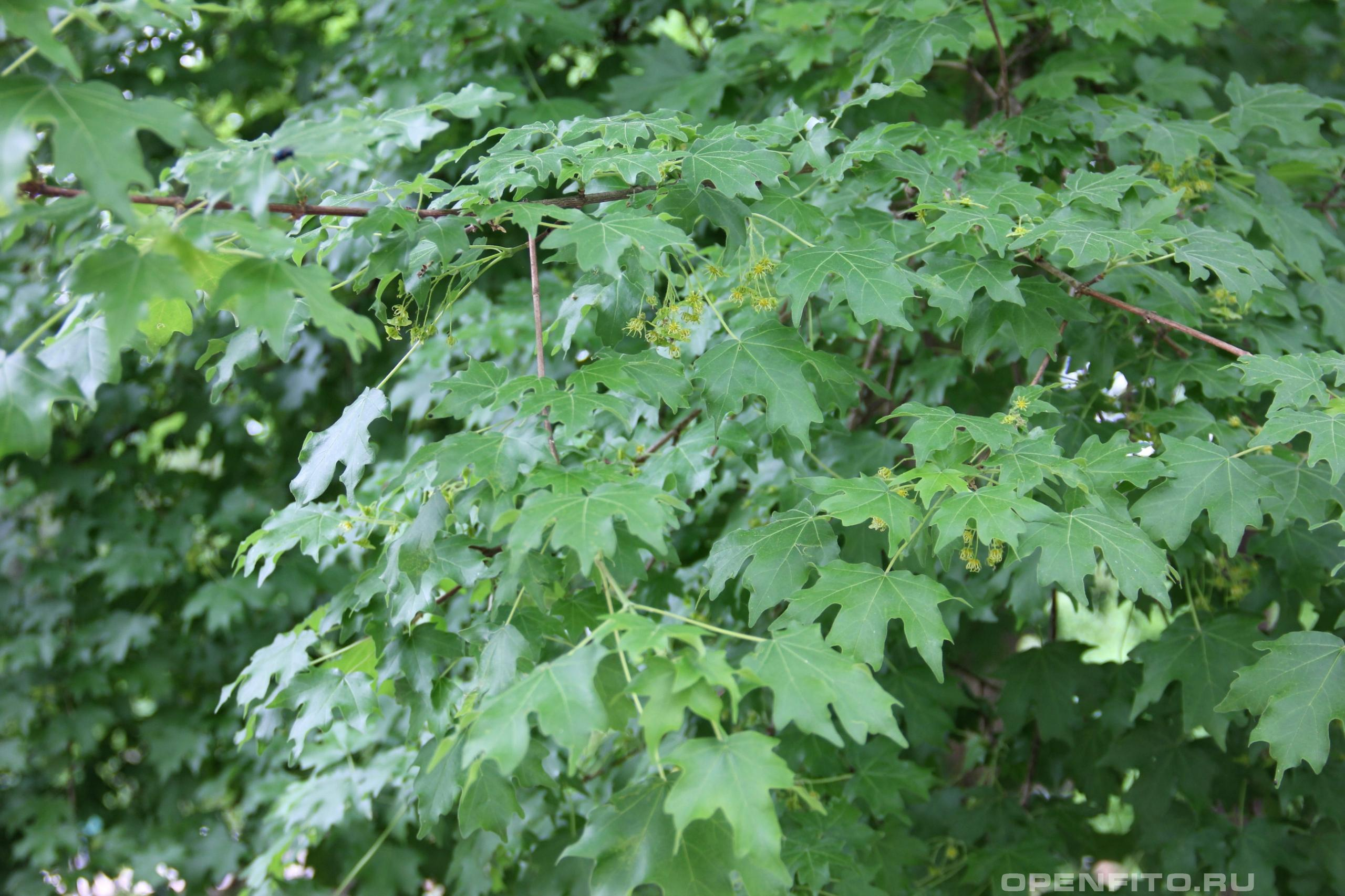 Клен полевой листья