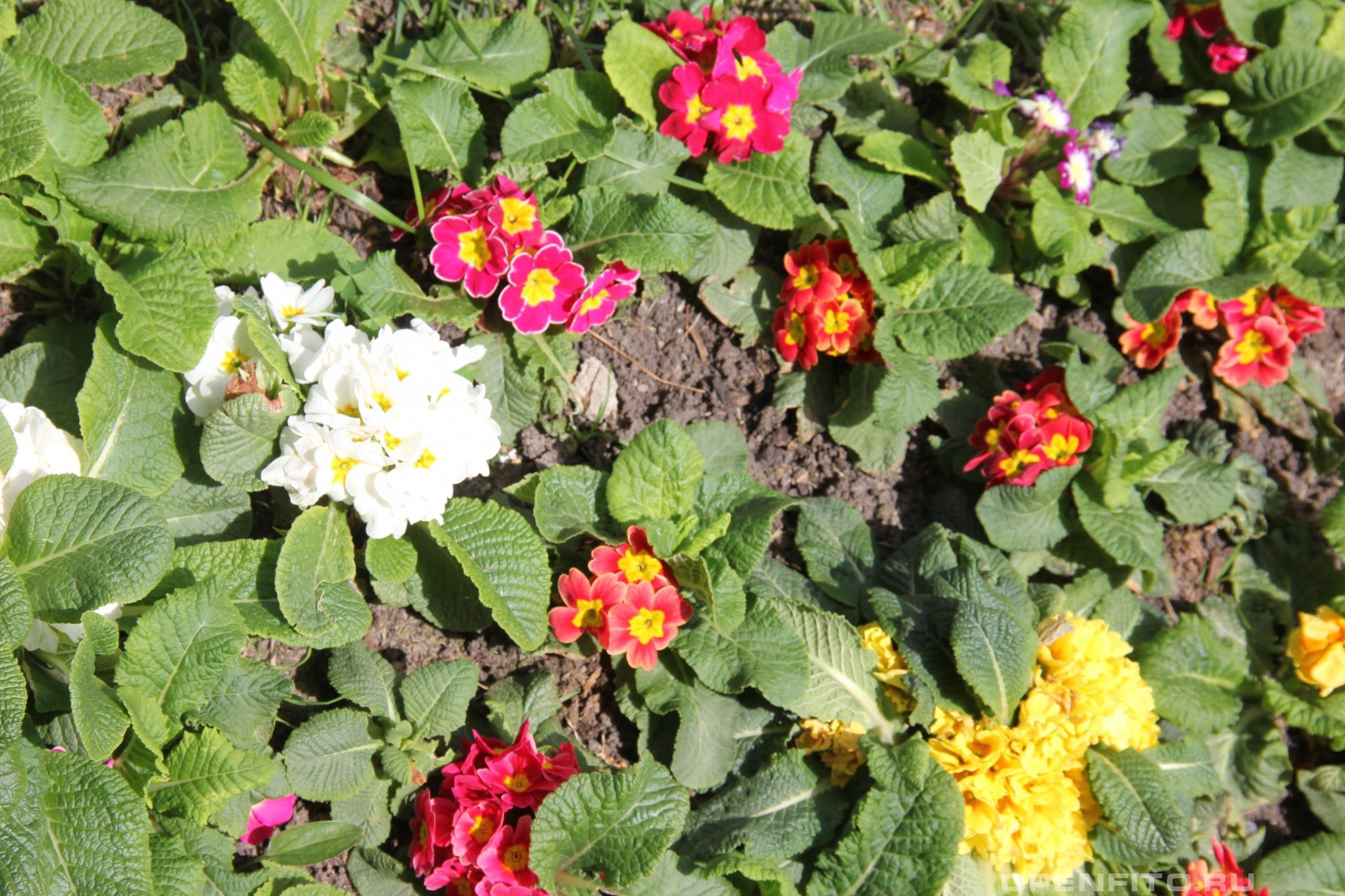 Первоцвет обыкновенный цветет разными цветами