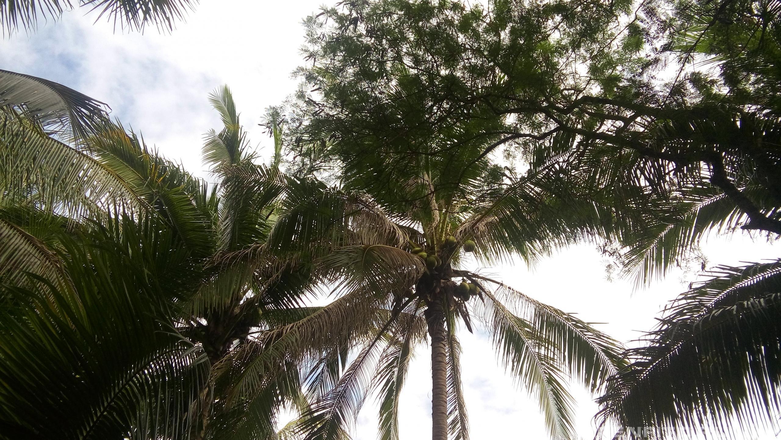 Кокос орехоносный дикорастущее растение