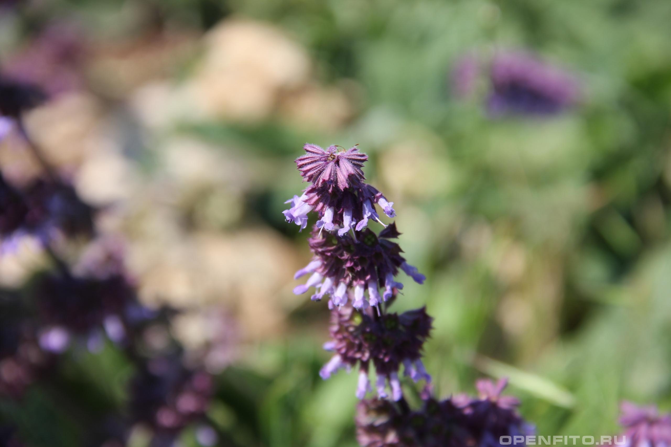 Шалфей мутовчатый соцветие