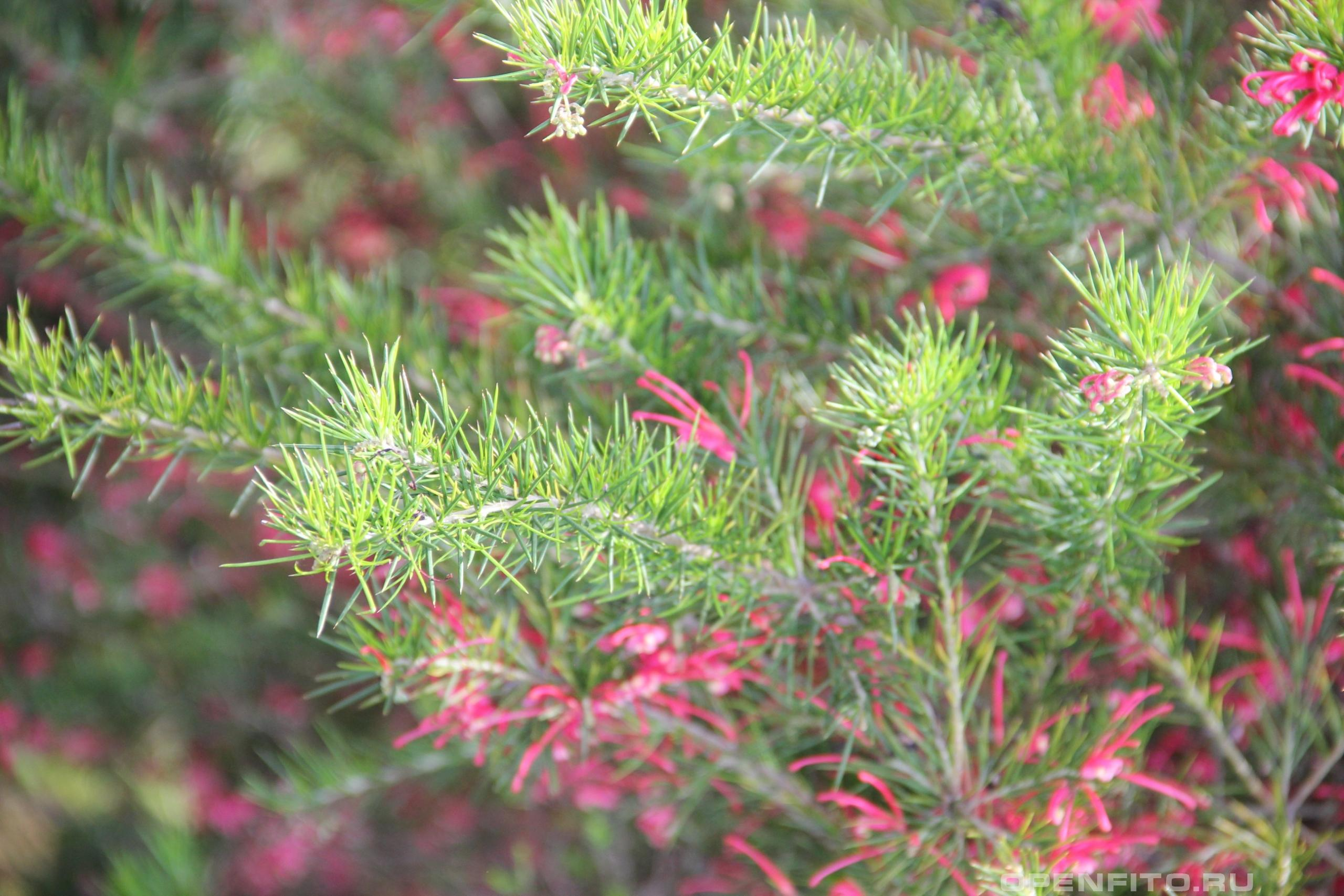Гревиллея розмаринолистная листья