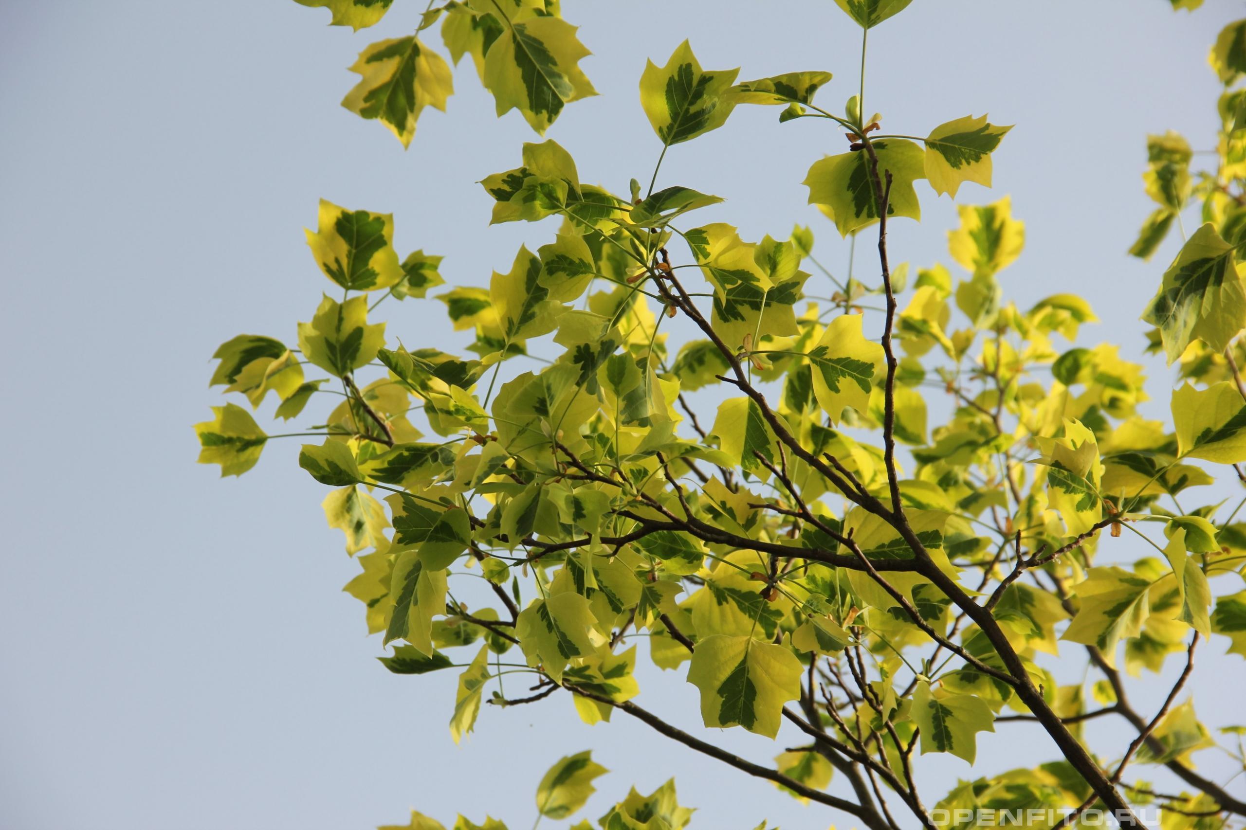 Лириодендрон тюльпанный листья