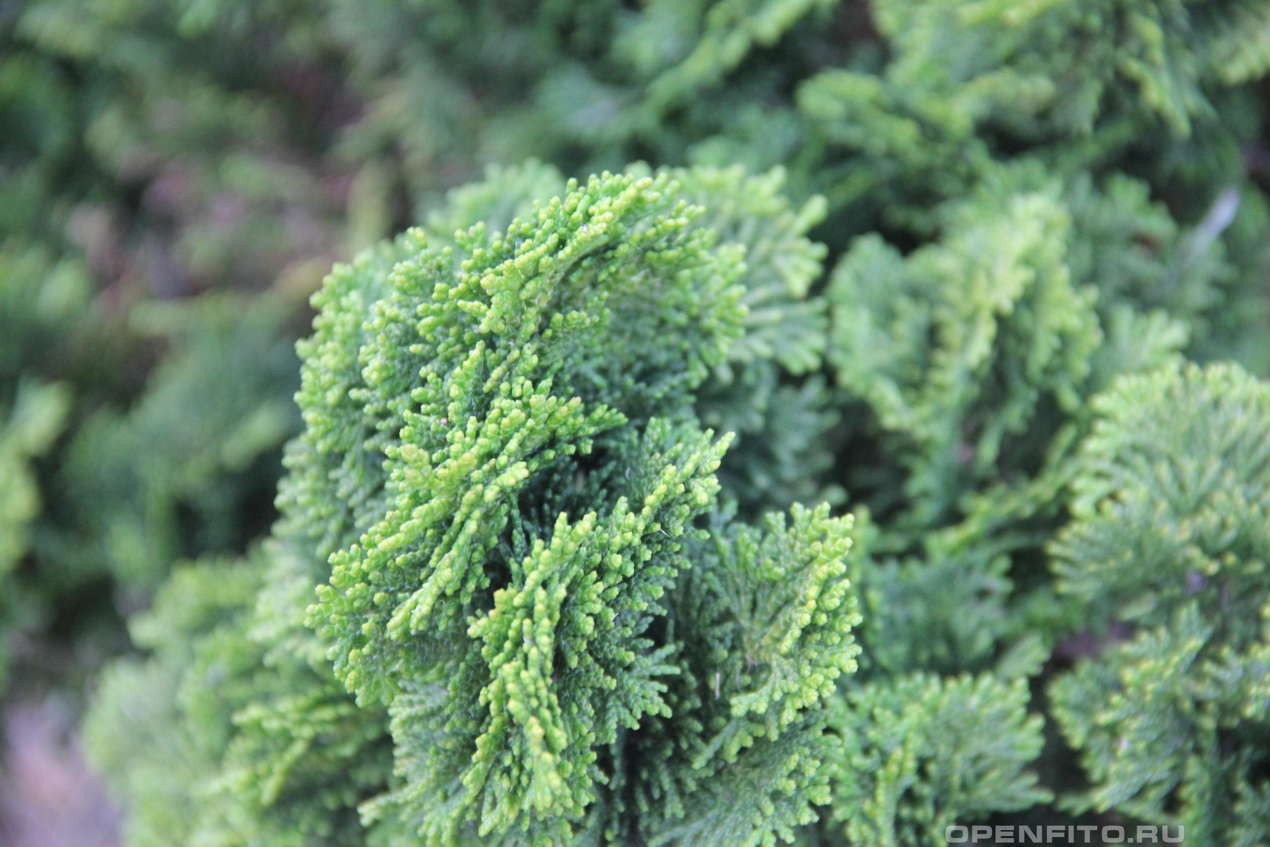 Кипарис туполистный лист