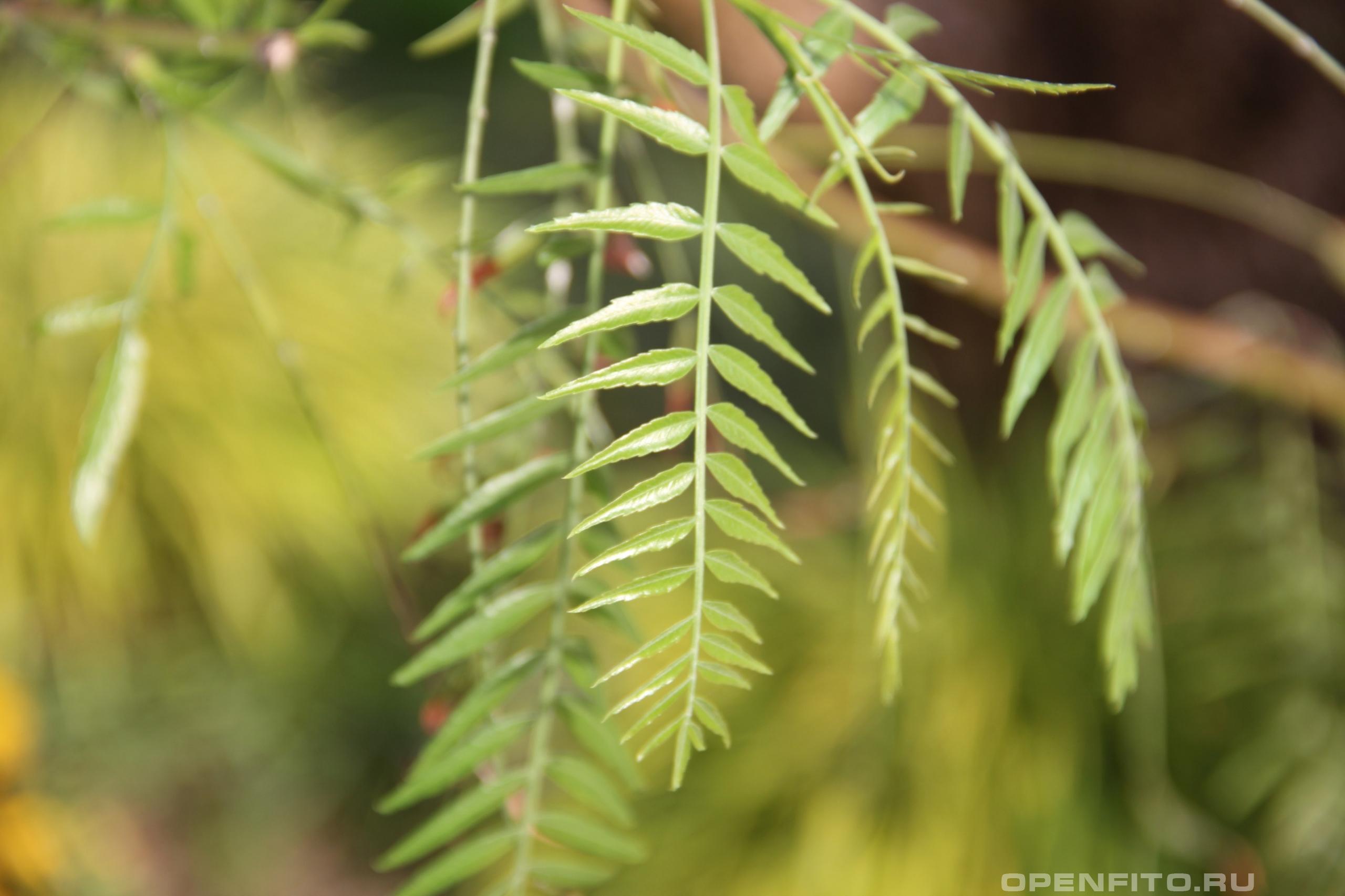 Шинус мягкий молодой лист