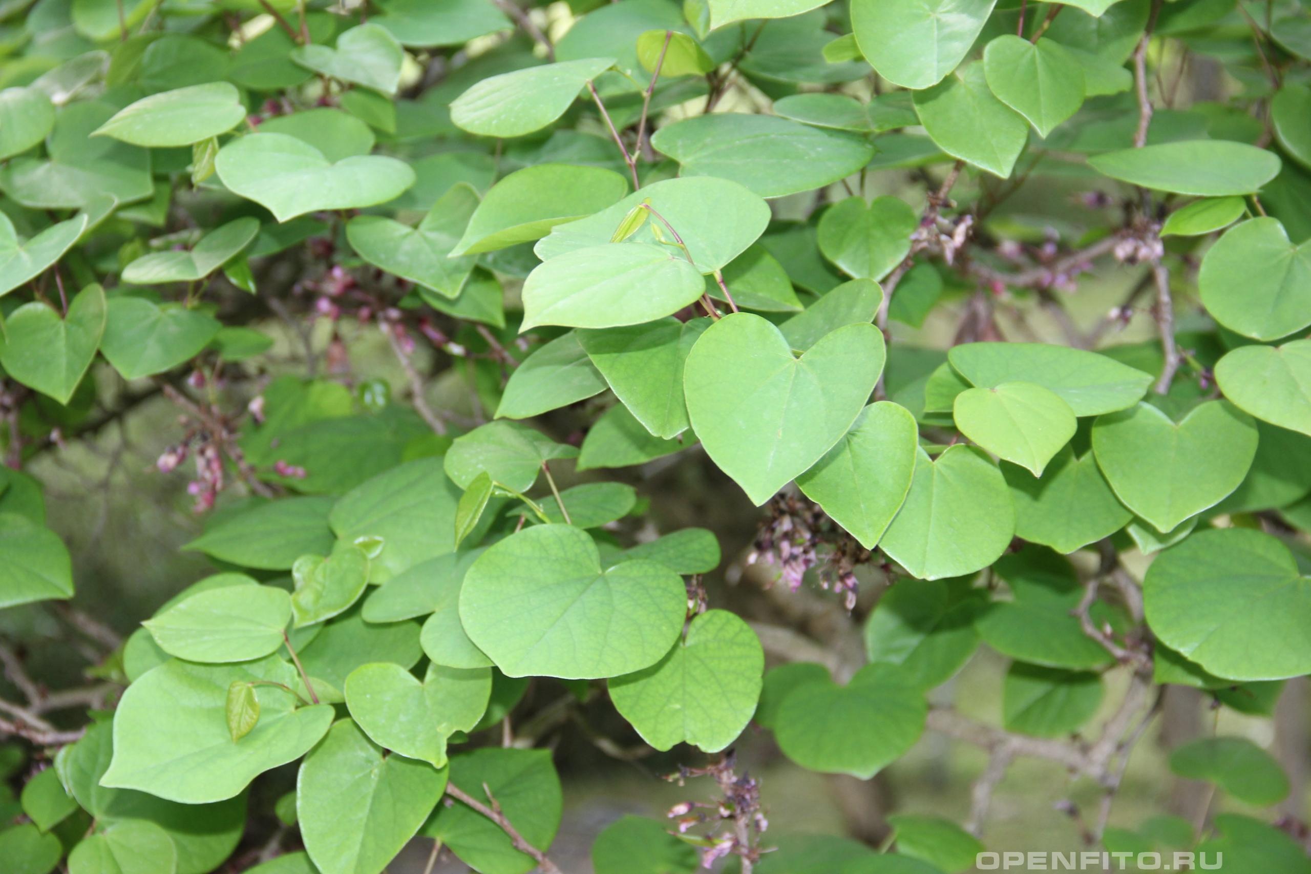 Багряник рожковый лист