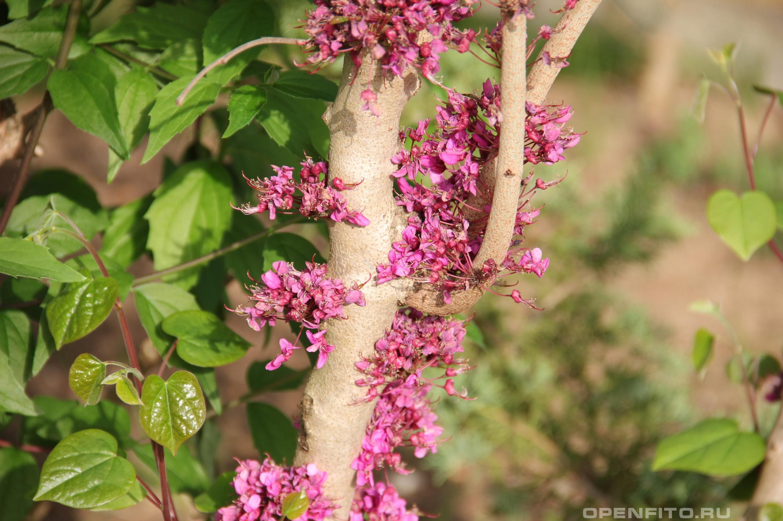 Багряник рожковый цветение растения