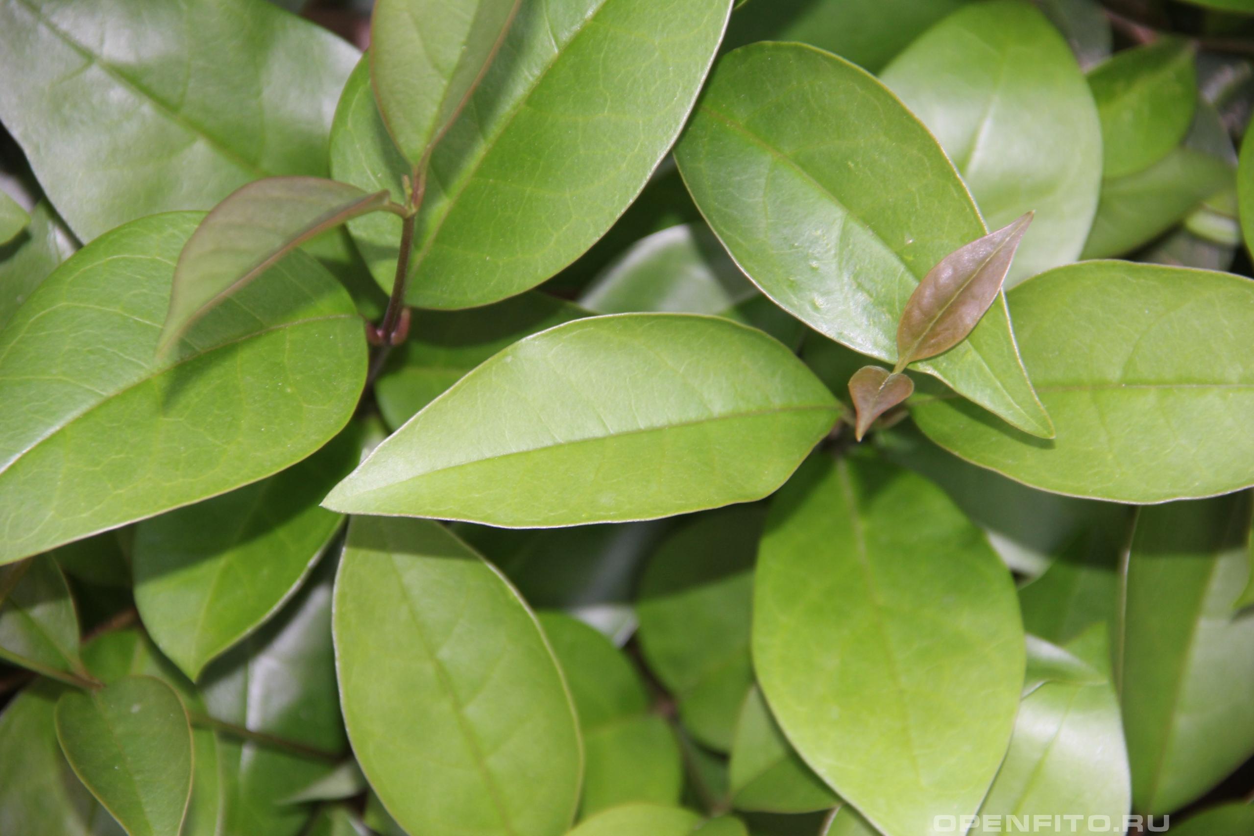 Бирючина блестящая <p>листья</p>