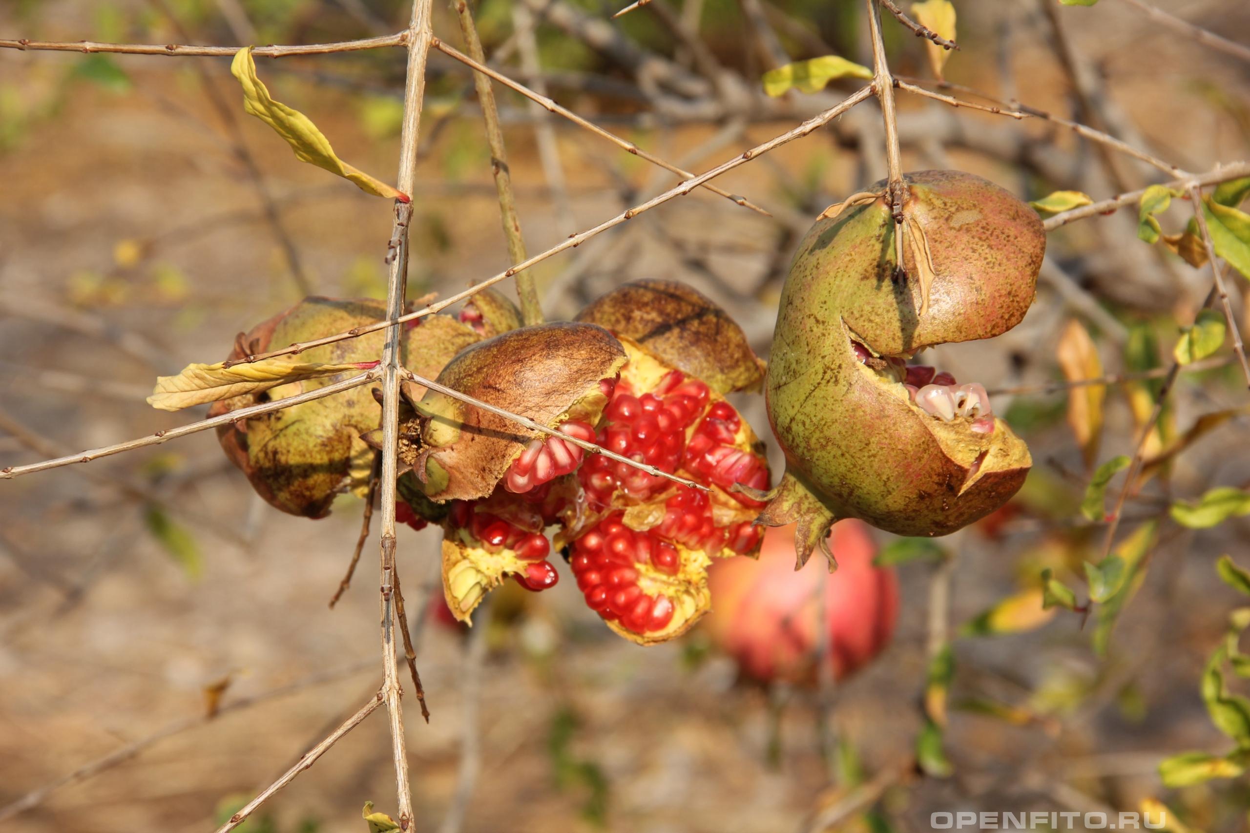 Гранат обыкновенный переспелый плод