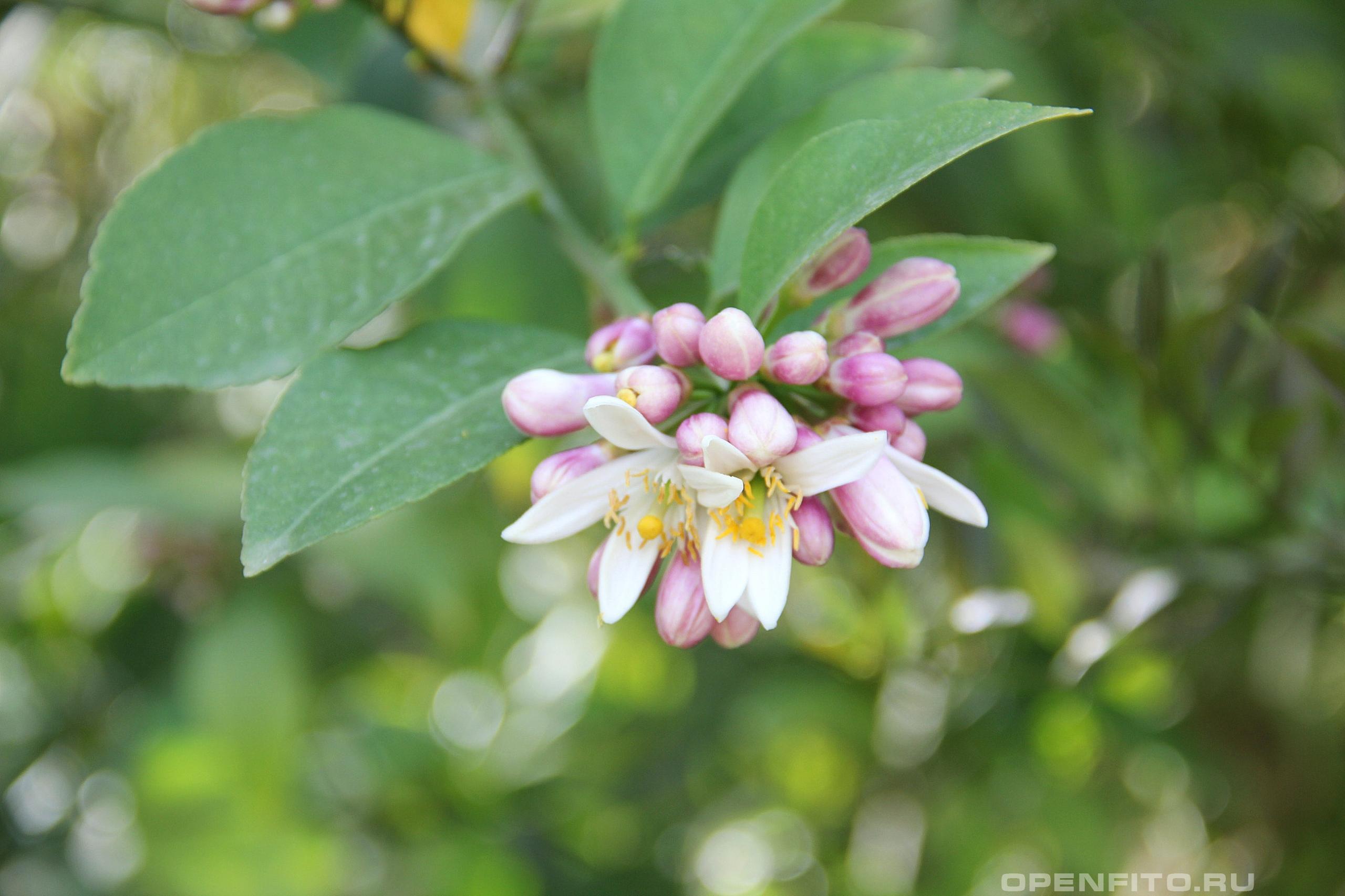 Цитрус лимон розовые цветки лимона