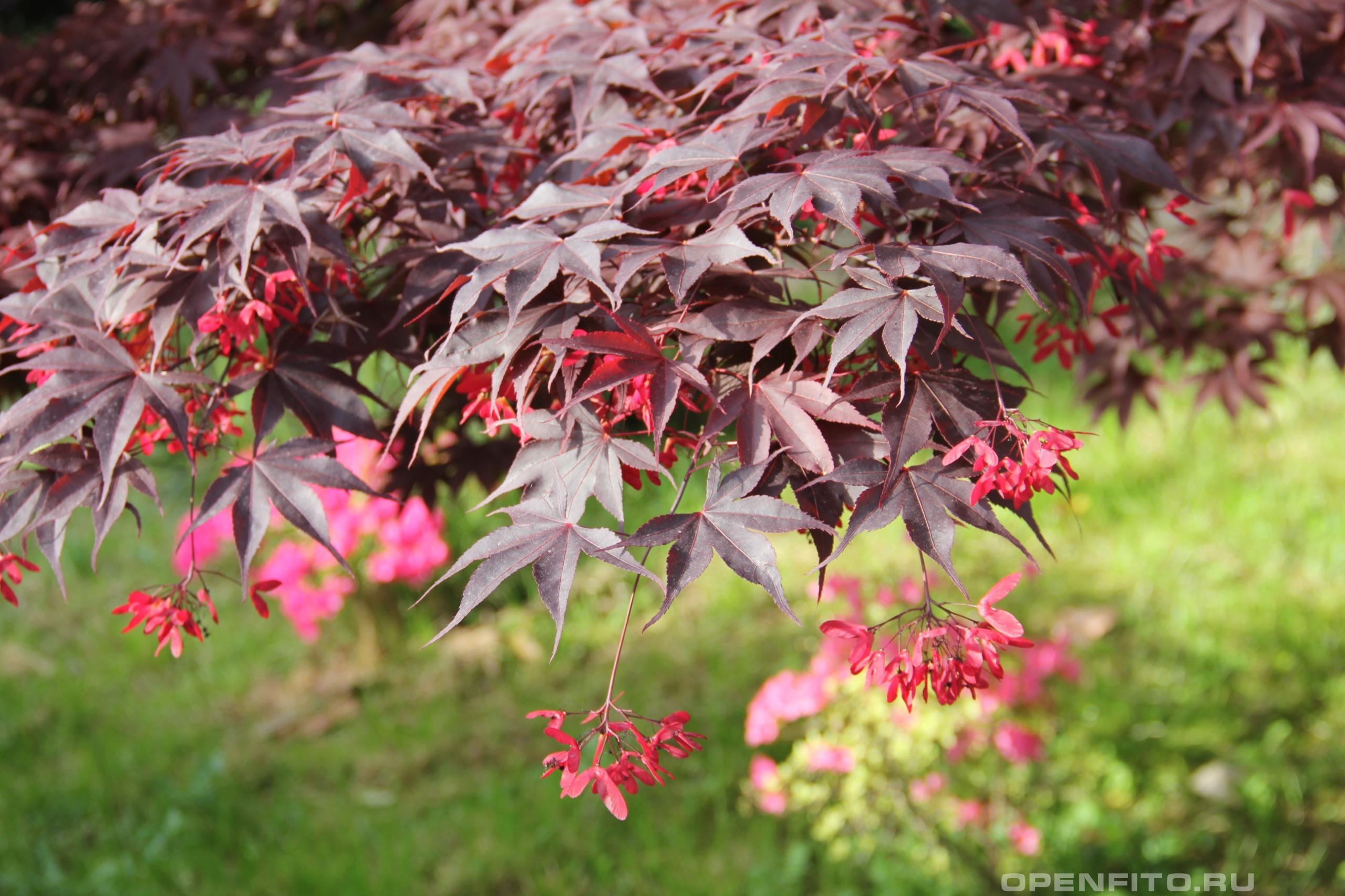 Клен дланевидный листья и плоды