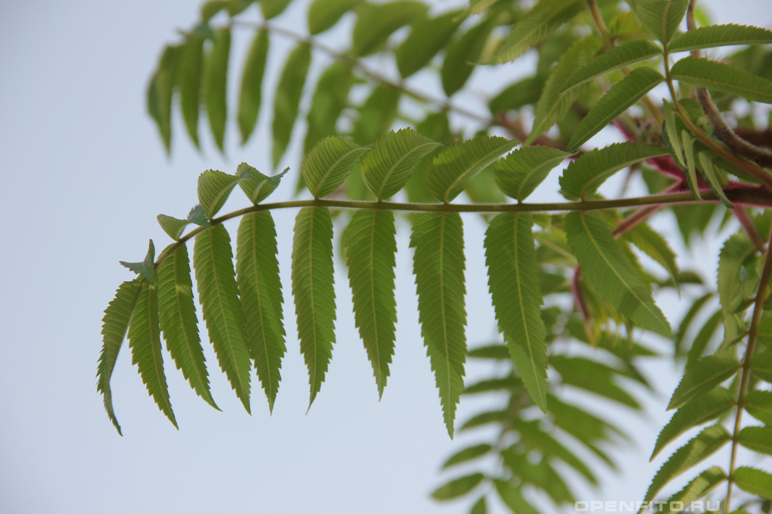 Сумах пушистый листья