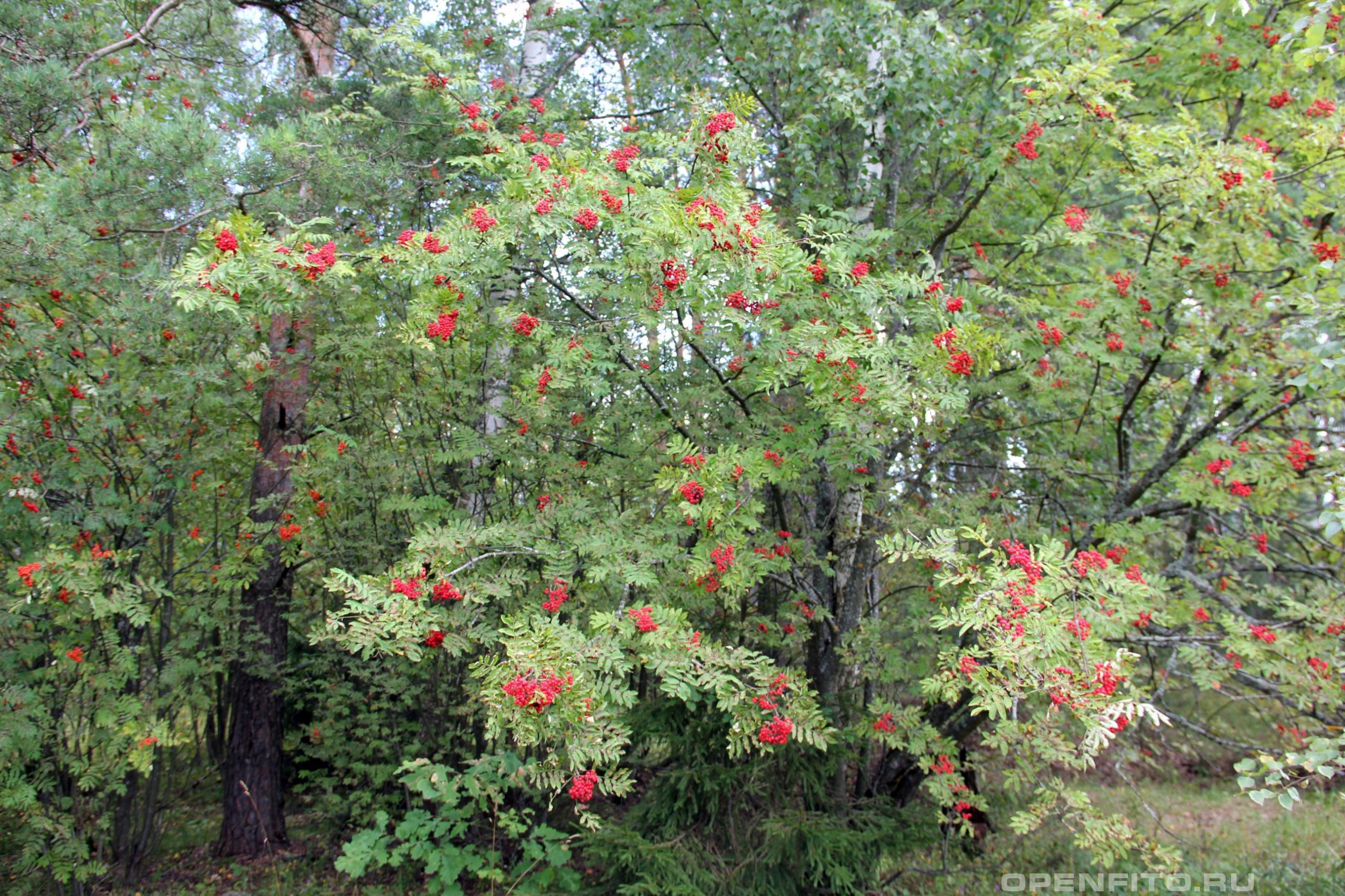 Рябина обыкновенная плодоносящее дерево