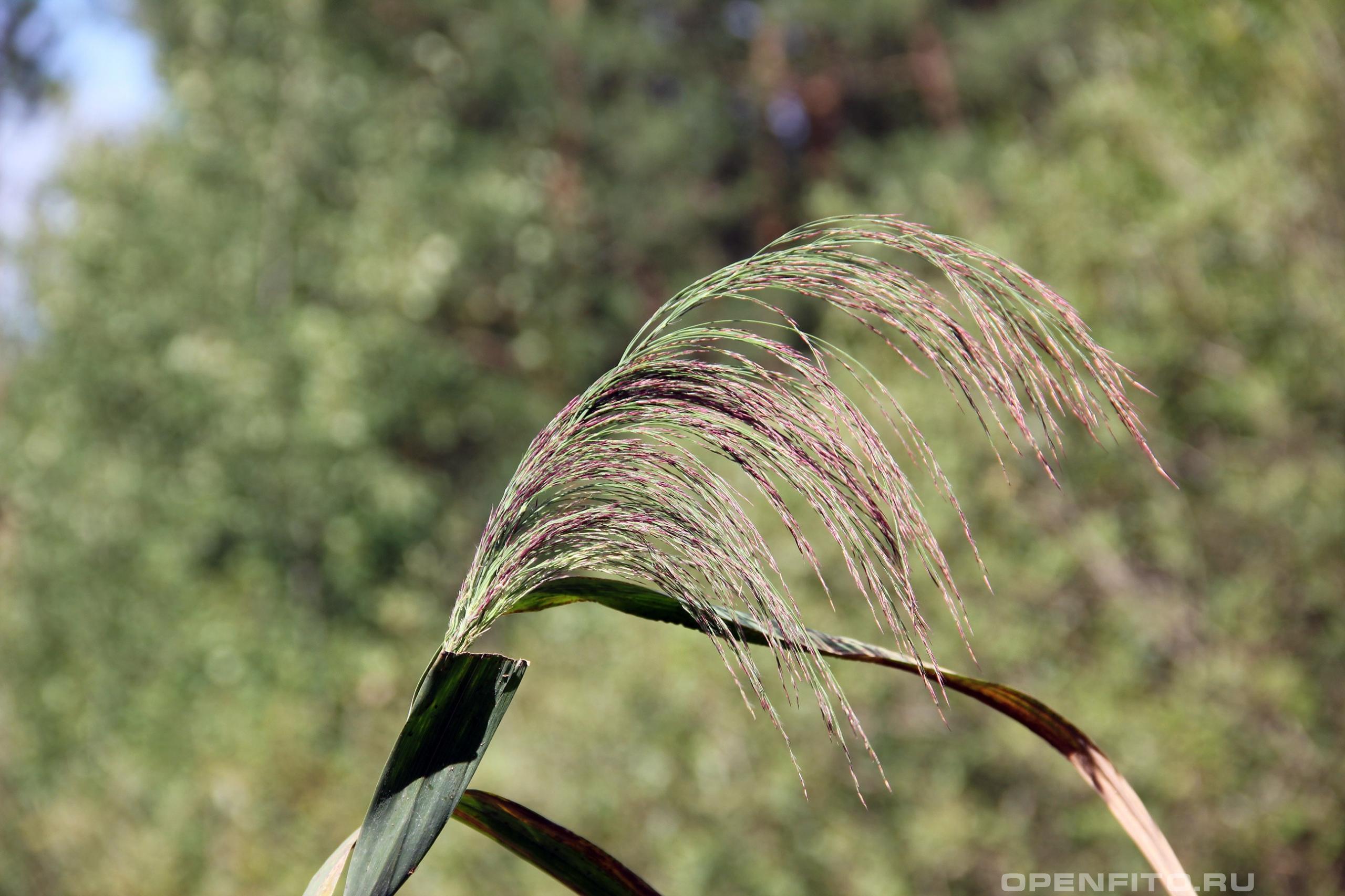 Тростник обыкновенный зацветающее растение