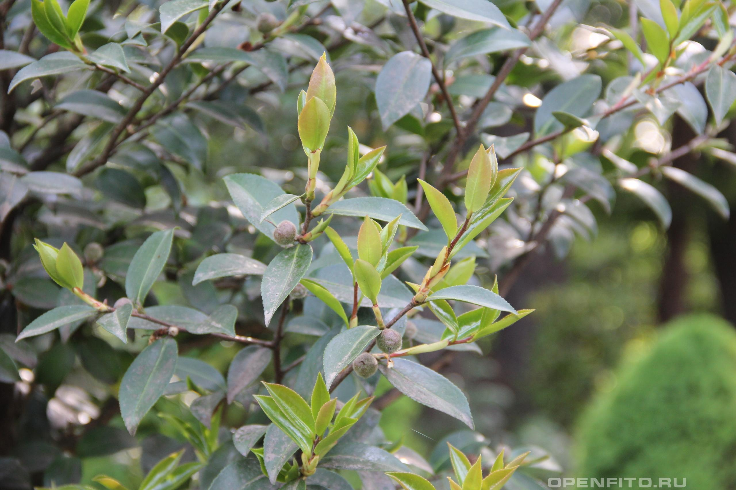 Камелия горная листья и бутоны