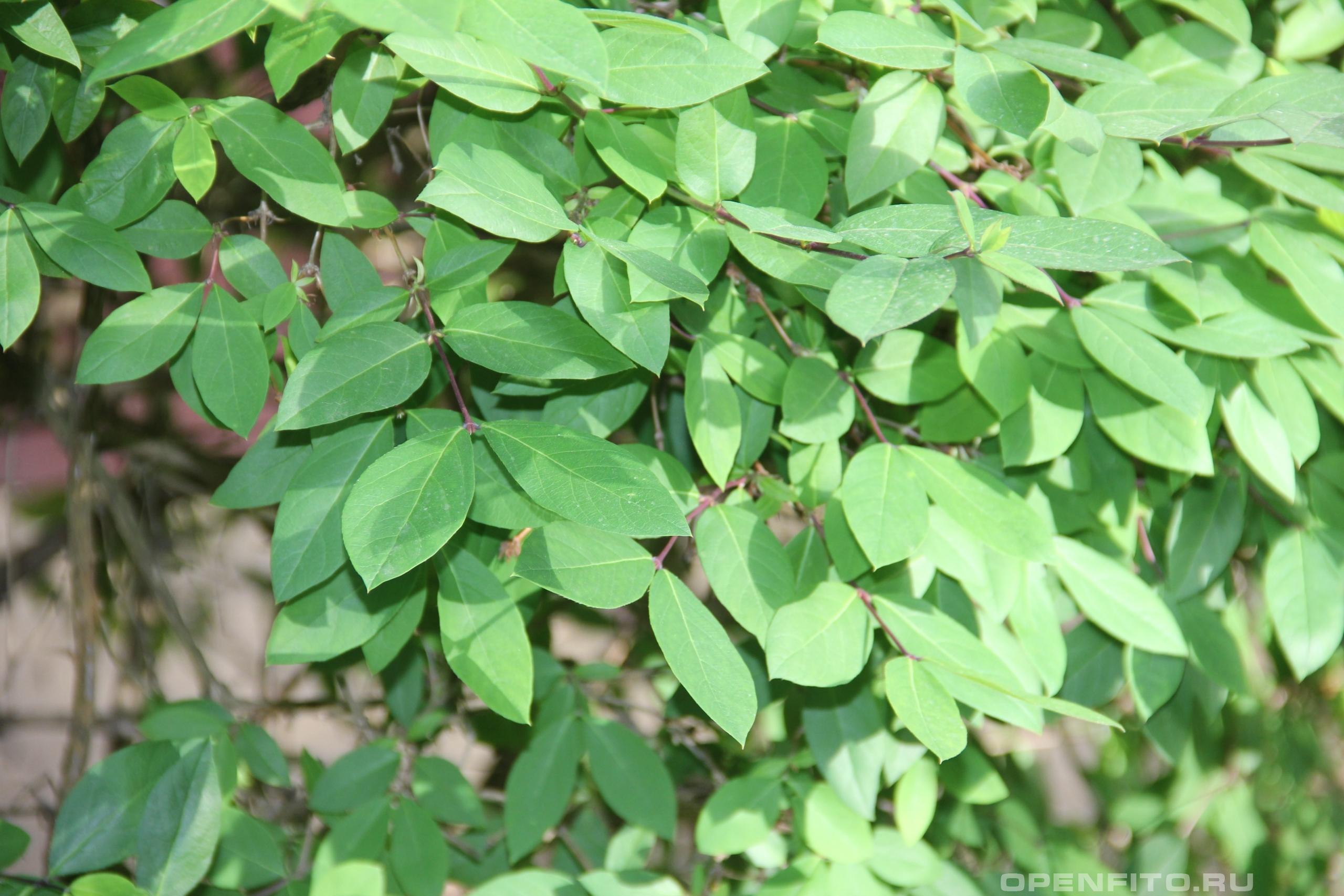Жимолость душистая листья