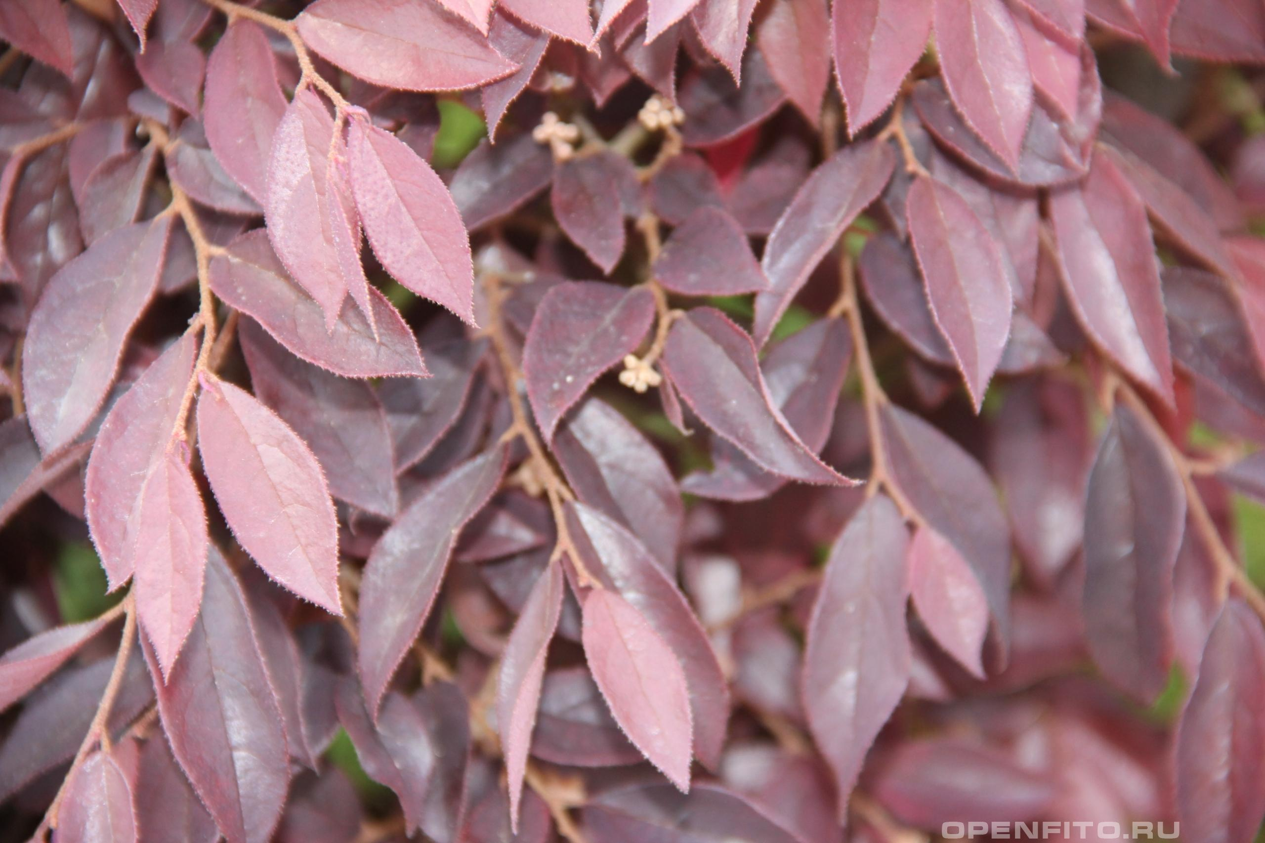 Лоропеталум китайский листья