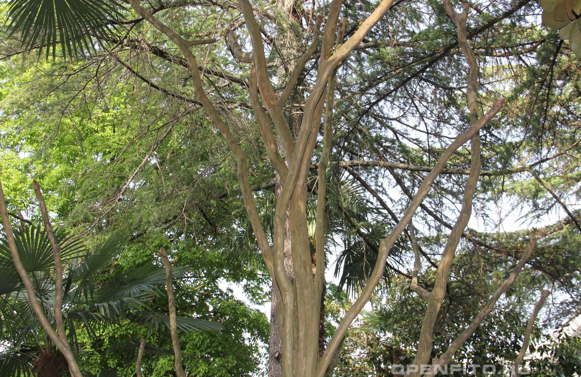 Лагерстремия индийская ствол взрослого растения