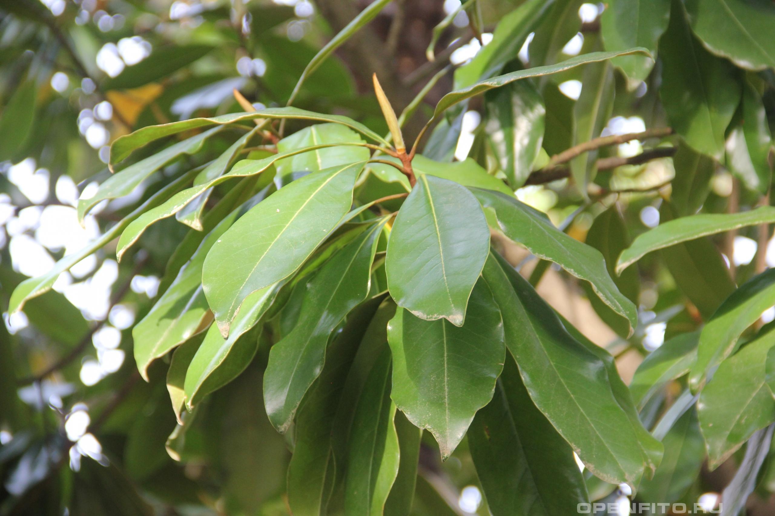 Магнолия крупноцветковая листья