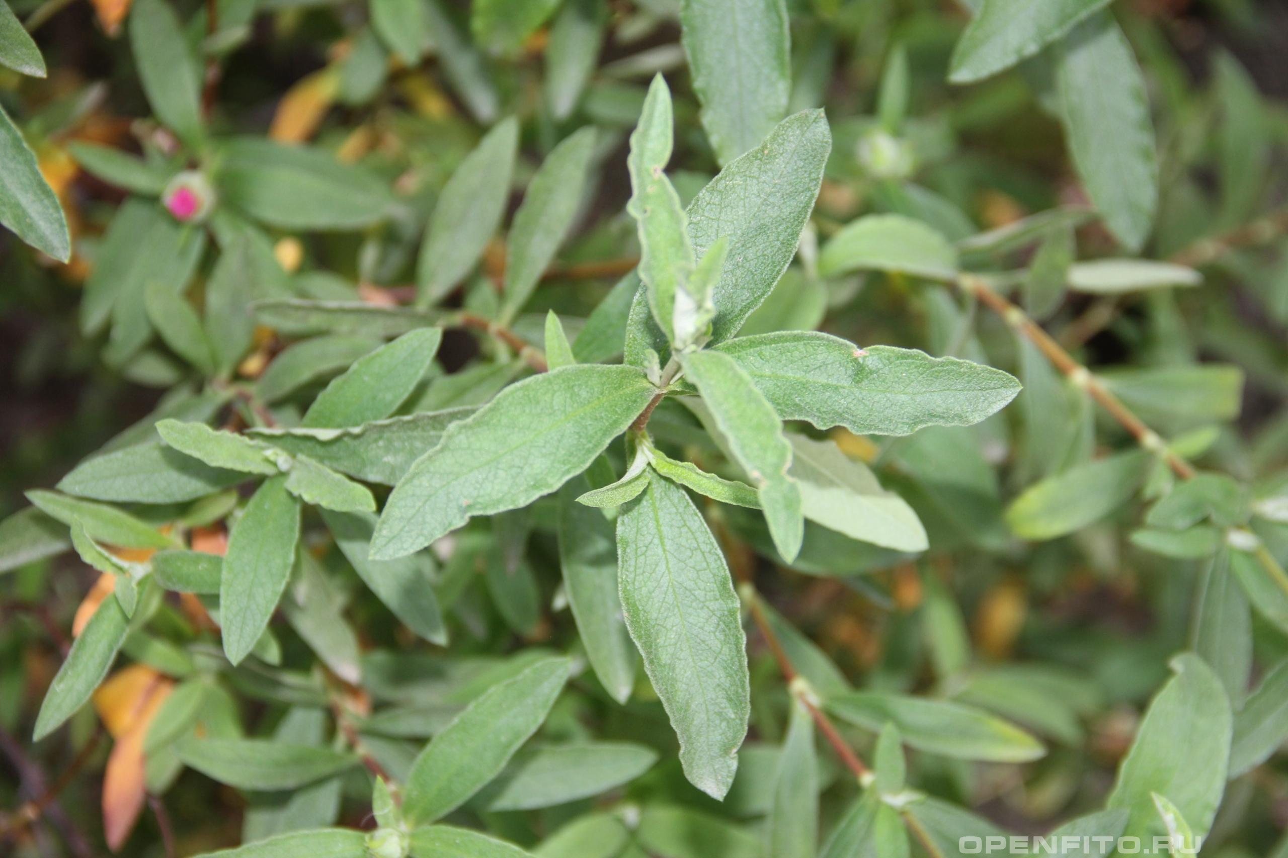 Ладанник крымский листья
