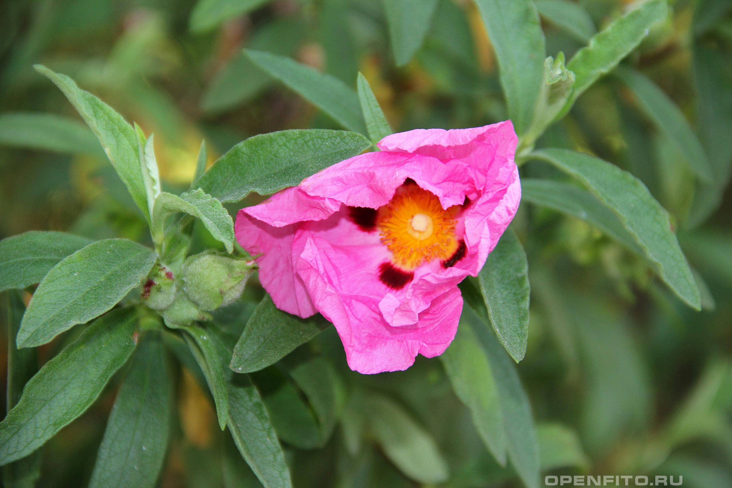 Ладанник крымский распускающийся цветок