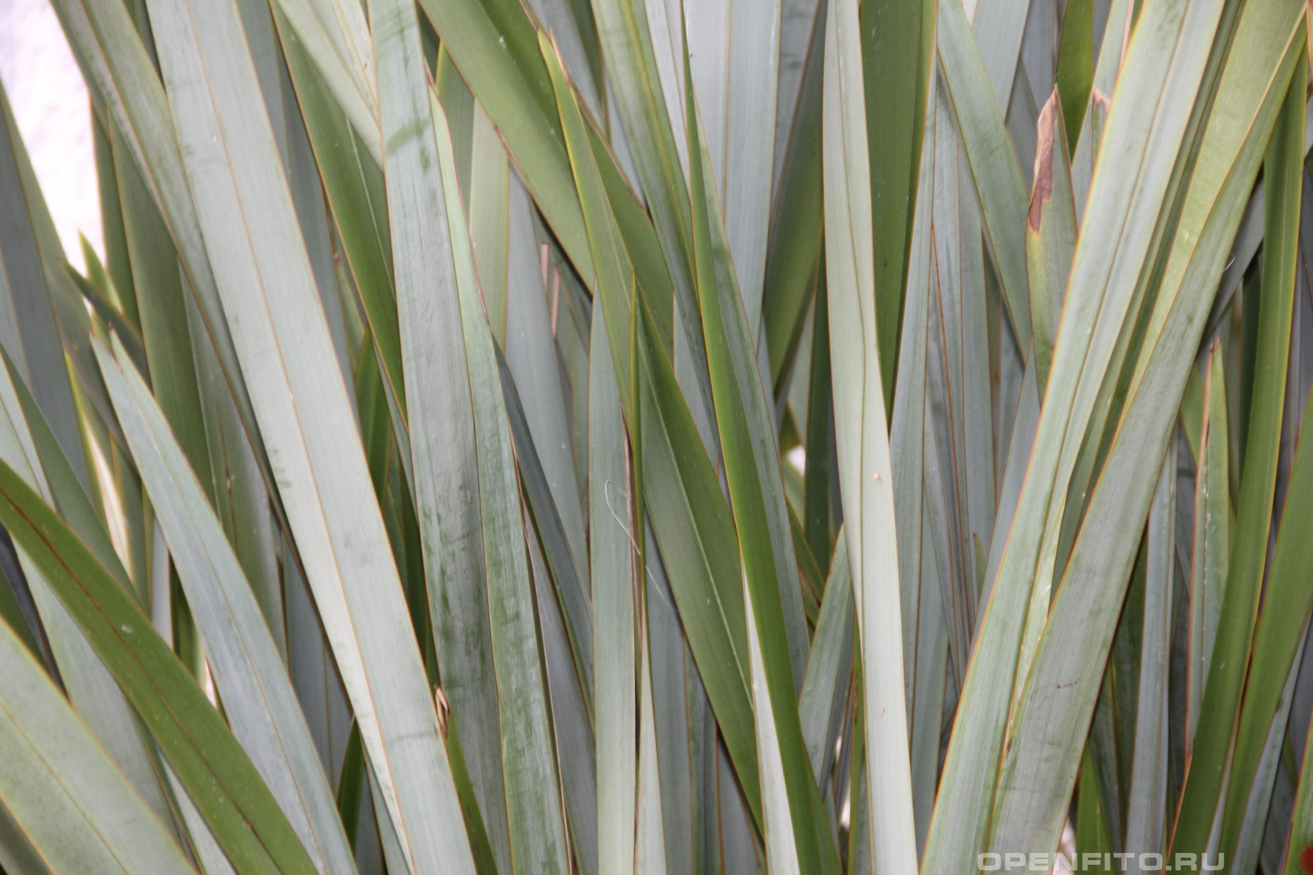 Лен новозеландский листья крупным планом