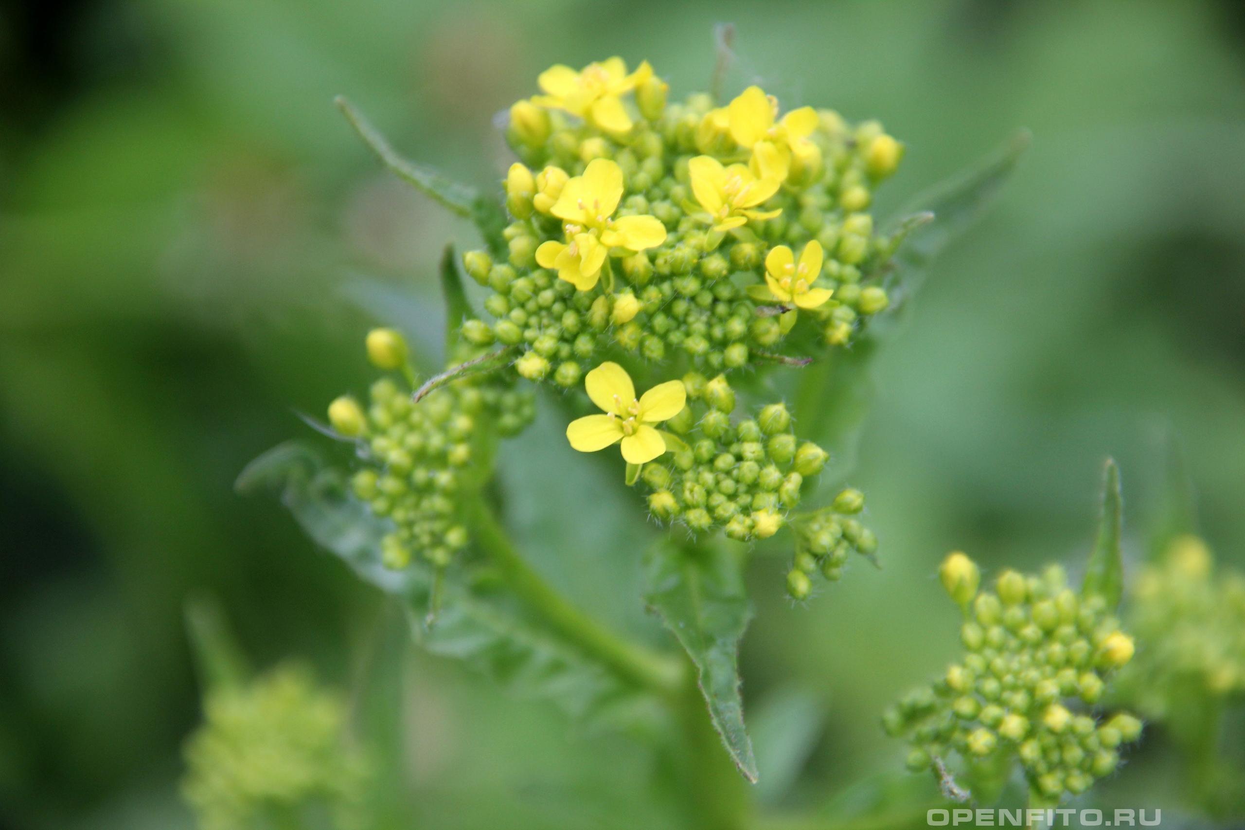 Свербига восточная побег с цветками