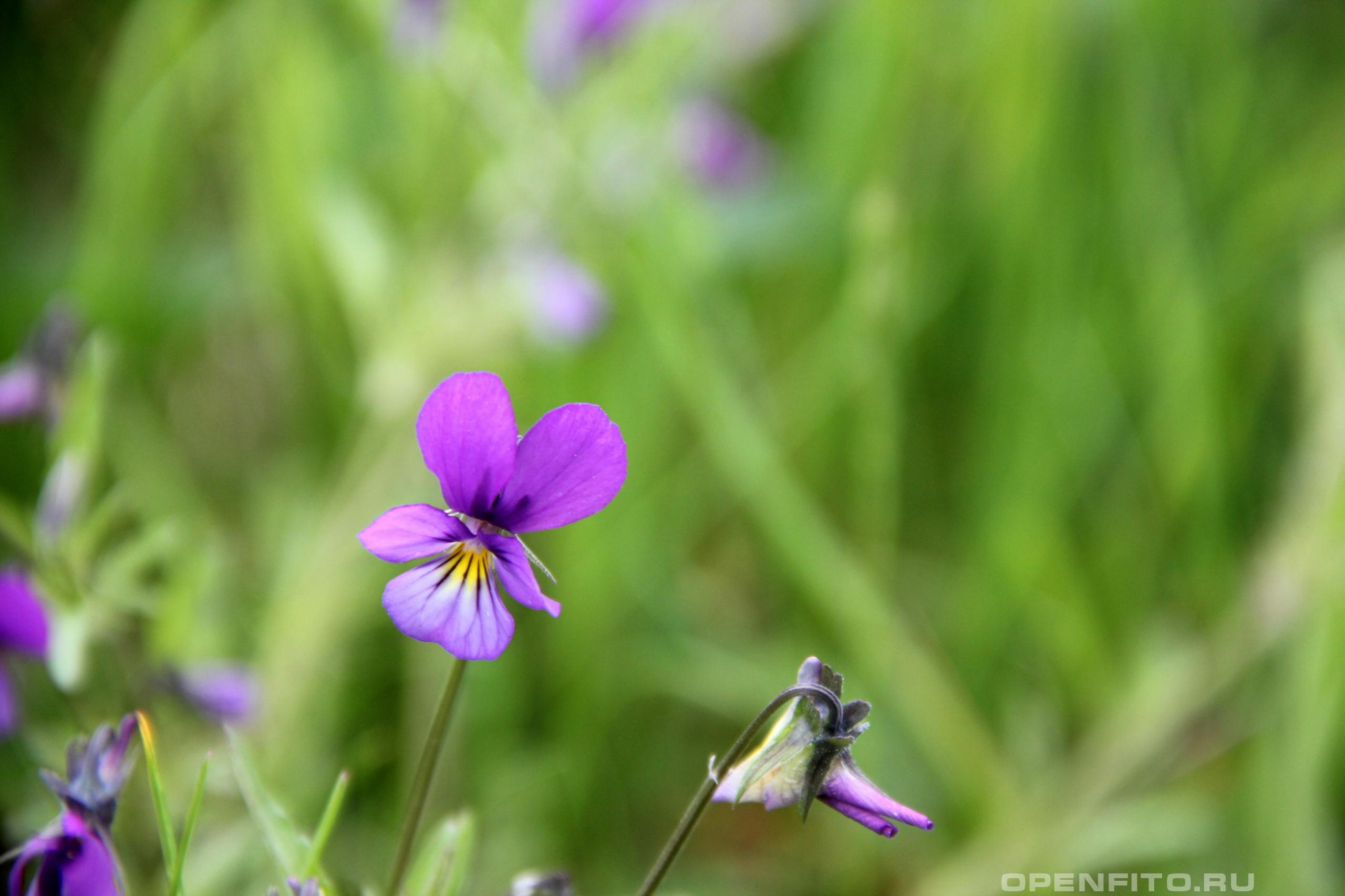 Фиалка трехцветная цветок и бутон