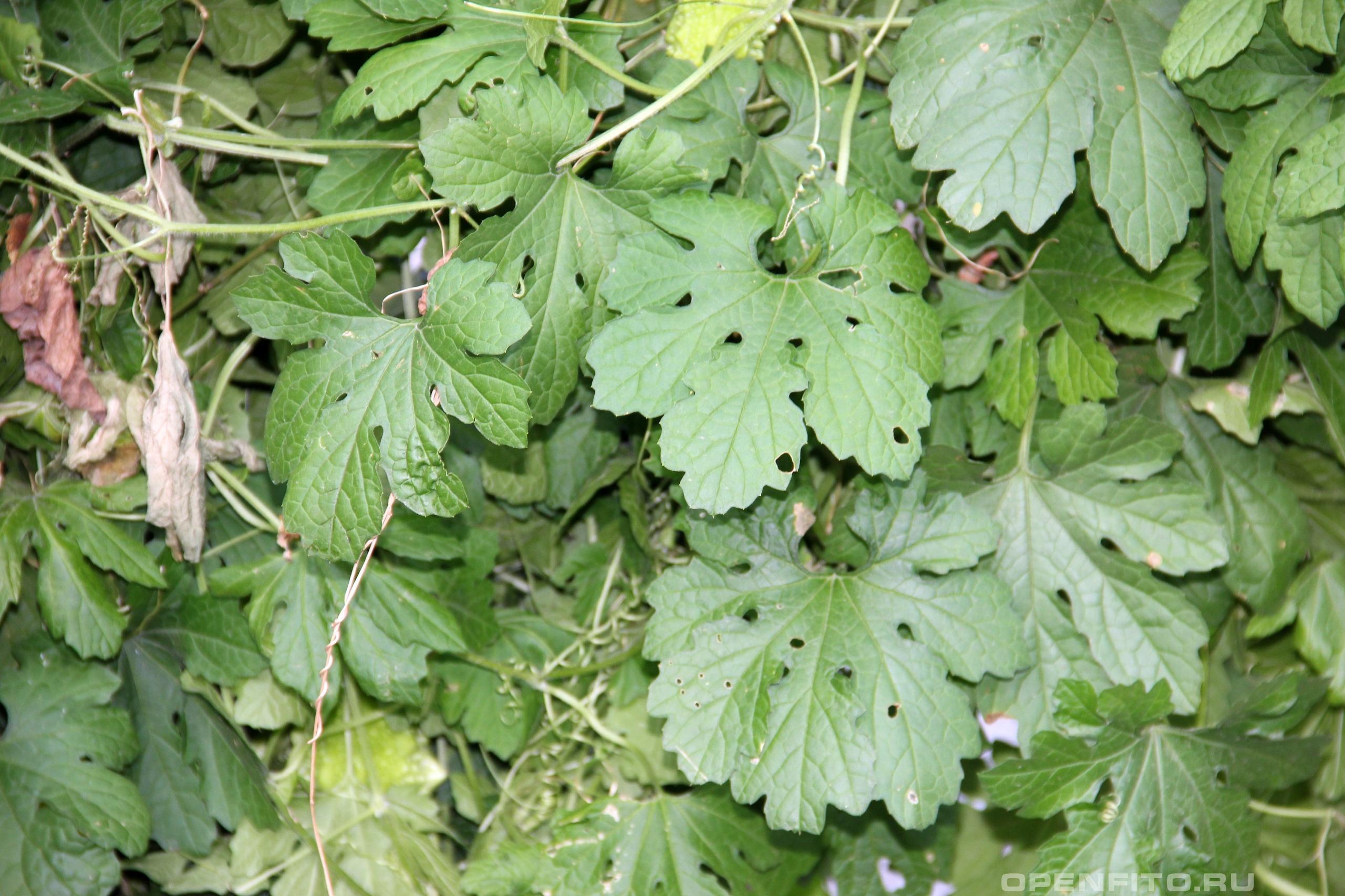 Момордика харантия листья