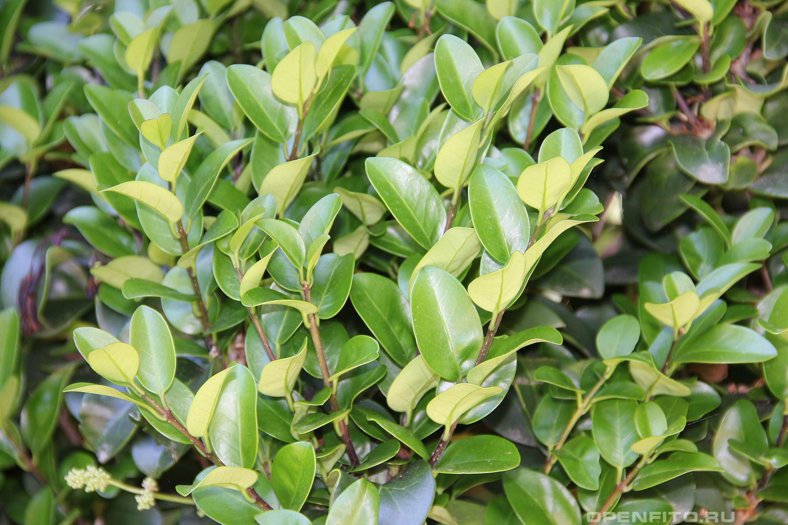 Бирючина японская листья