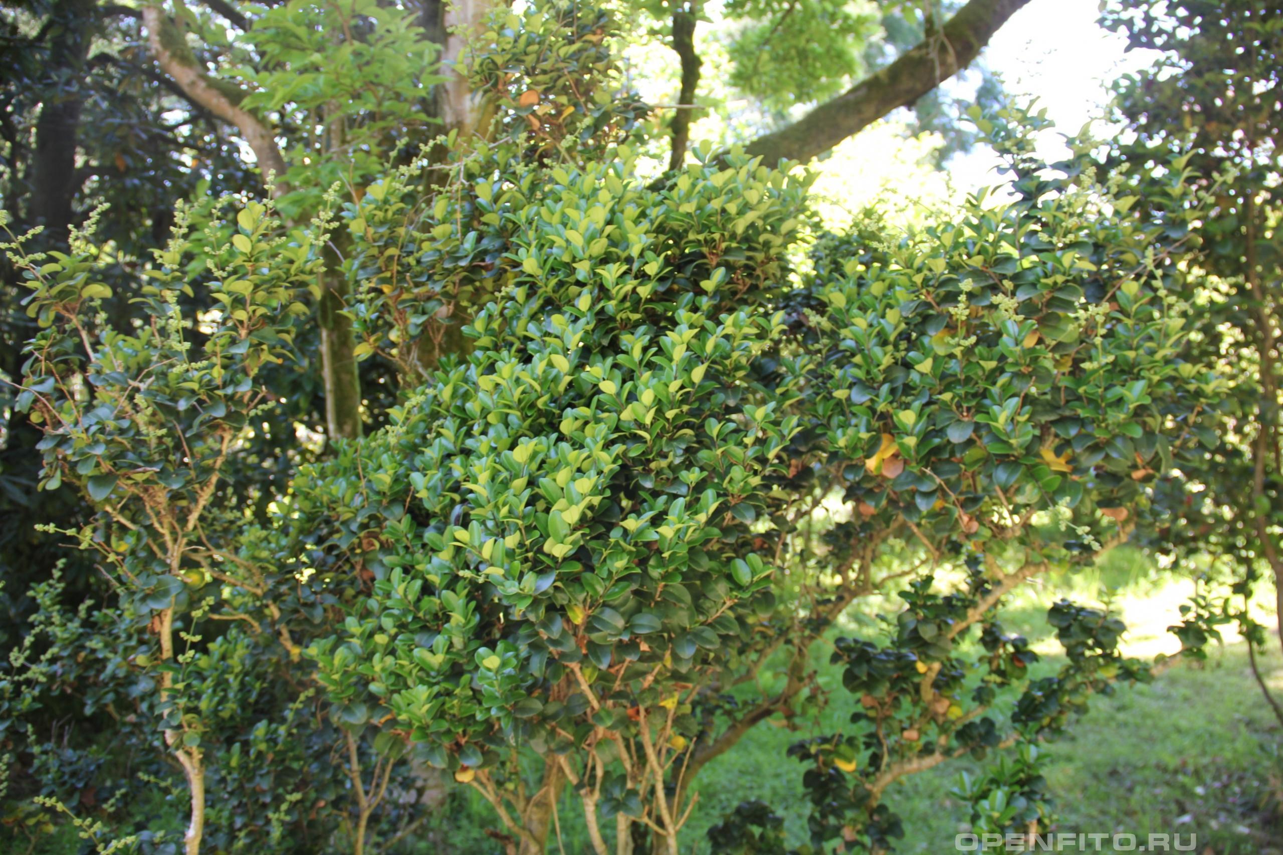 Бирючина японская растение