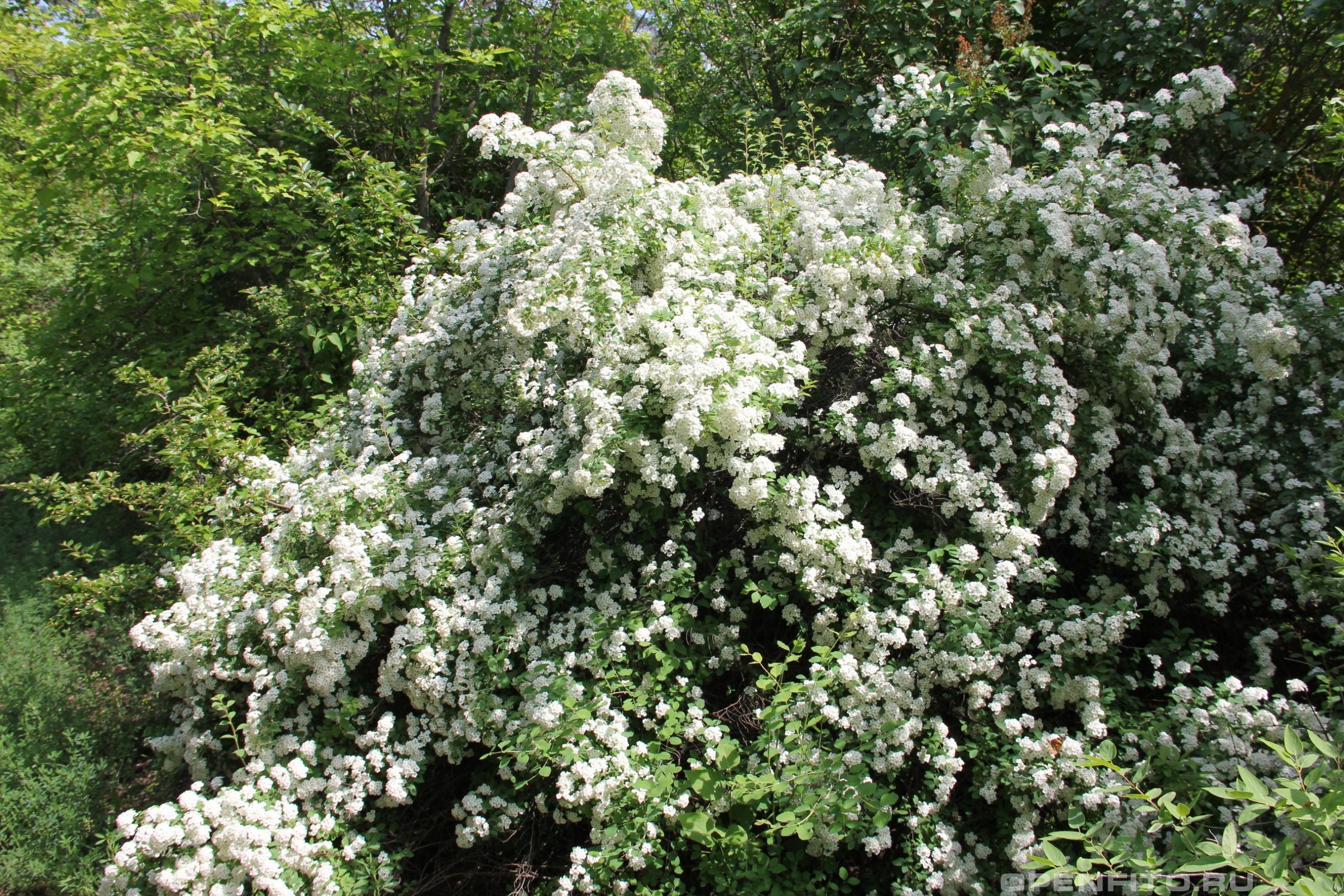 Спирея средняя цветущее растение