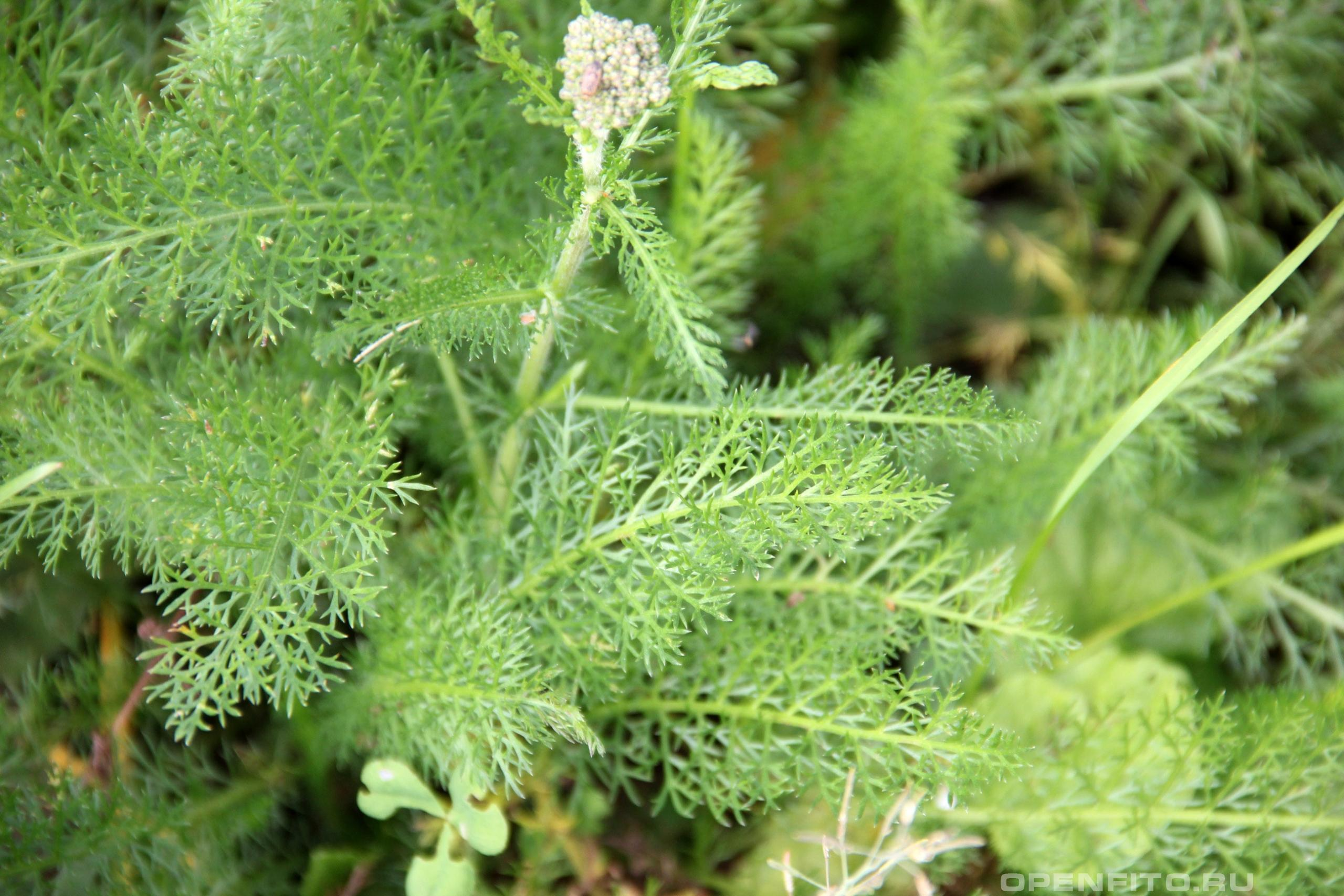 Тысячелистник лист растения