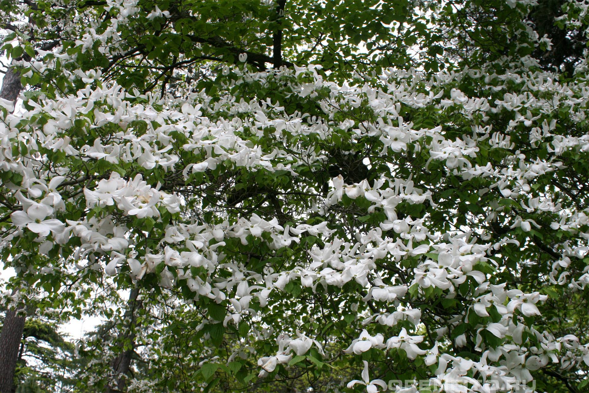 Циноксилон цветущий цветущее дерево