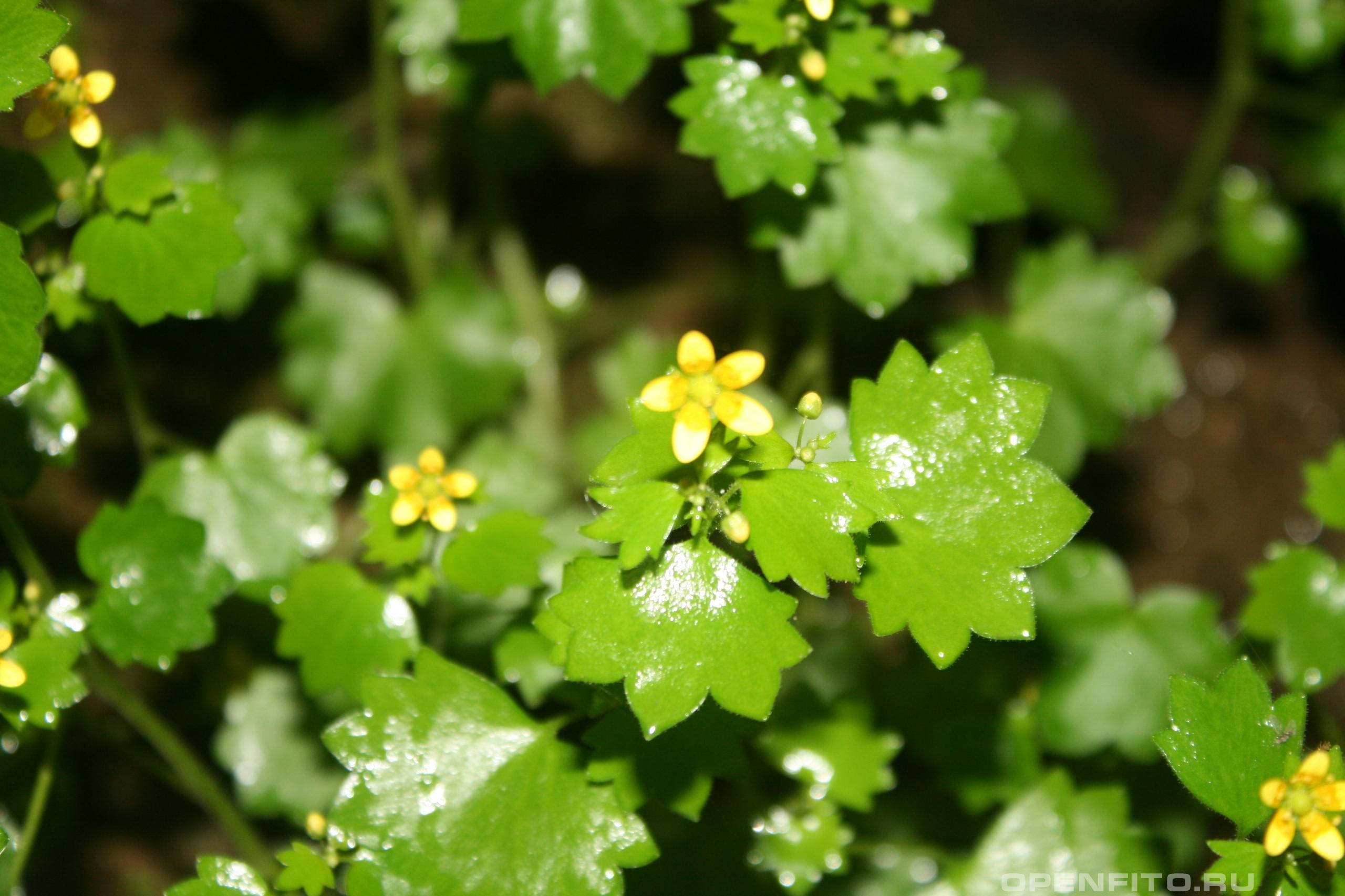 Камнеломка кимвальная листья
