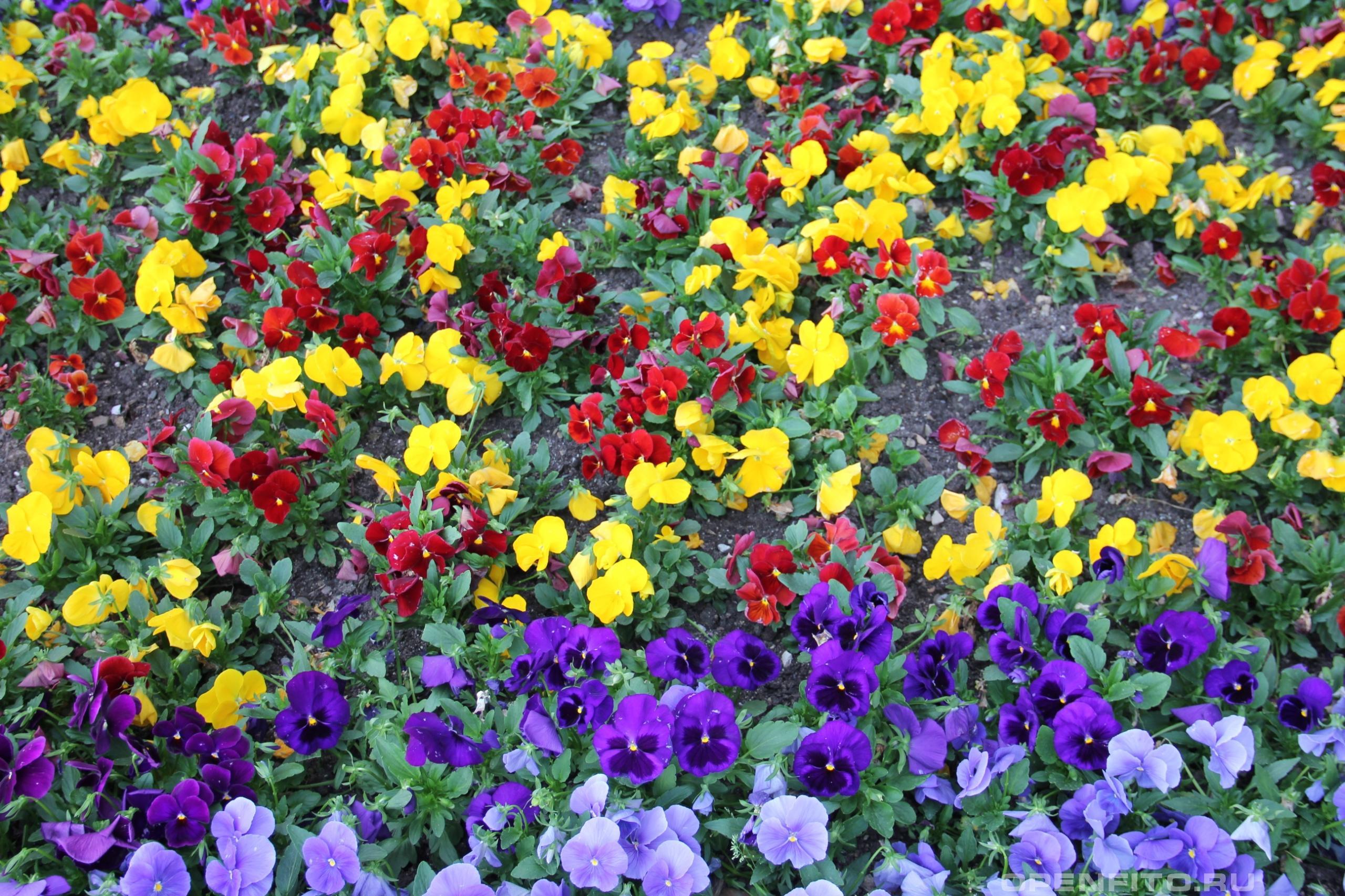 Фиалка Виттрока садовые цветы