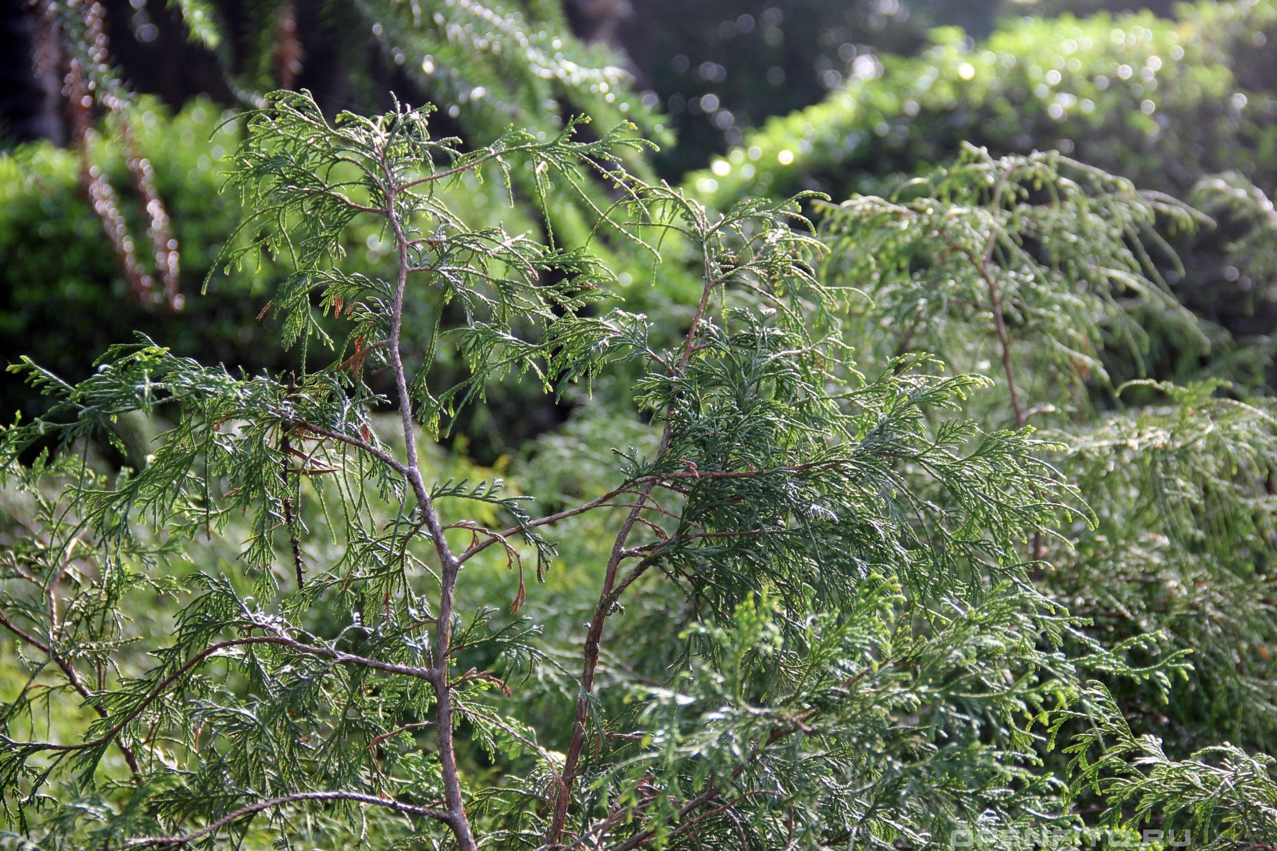 Туевик поникающий побеги растения