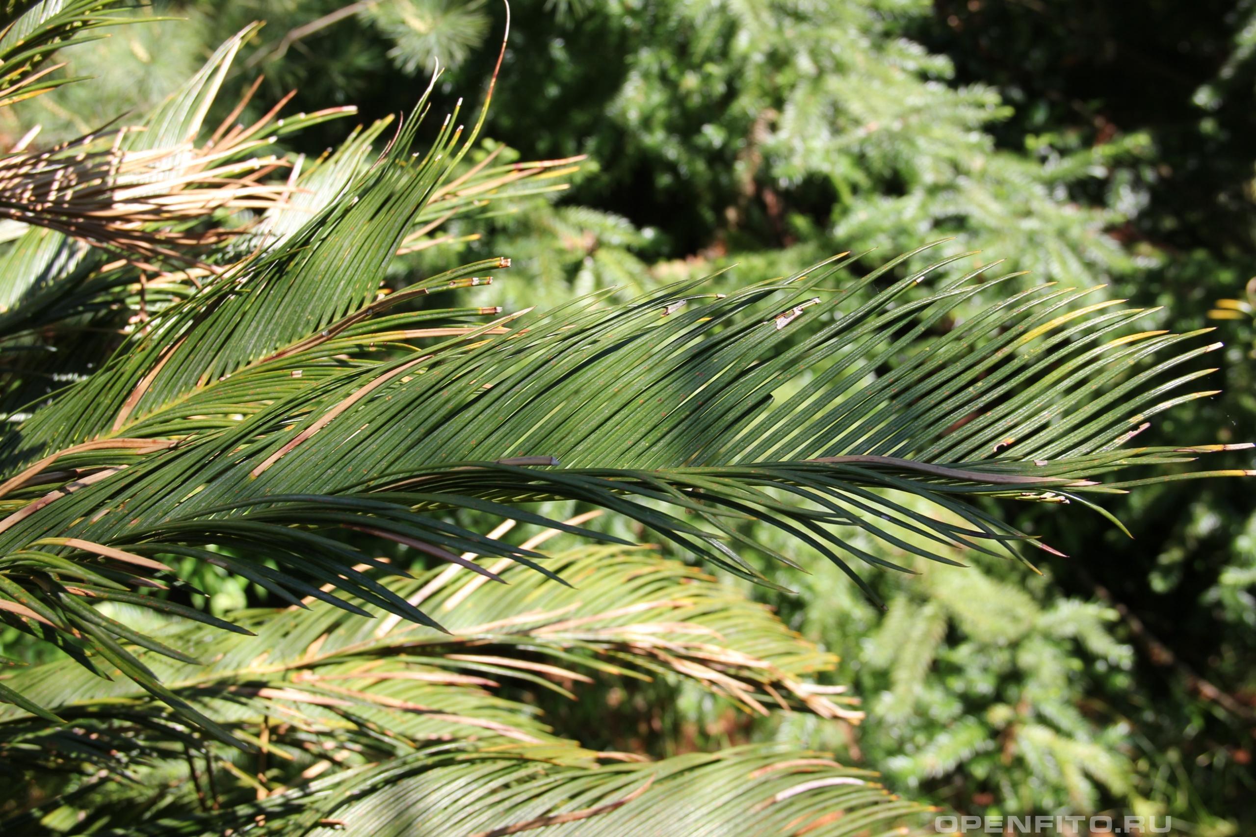 Саговник поникающий листья растения