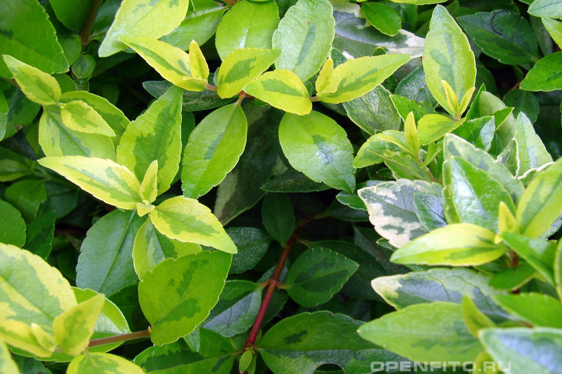 Абелия крупноцветковая листья