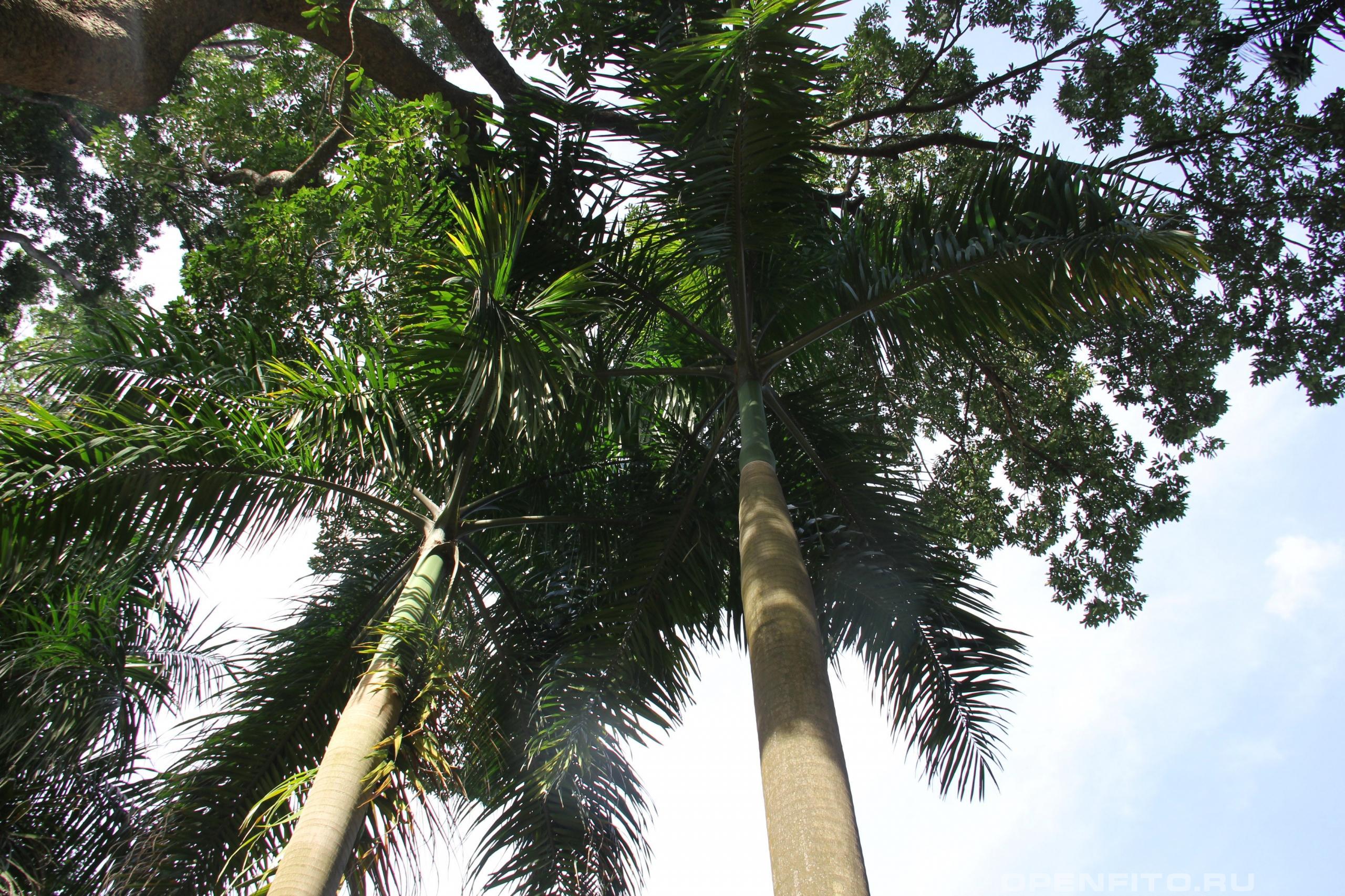 Пальма кубинская другое название Ройстоунея кубинская или Королевская пальма