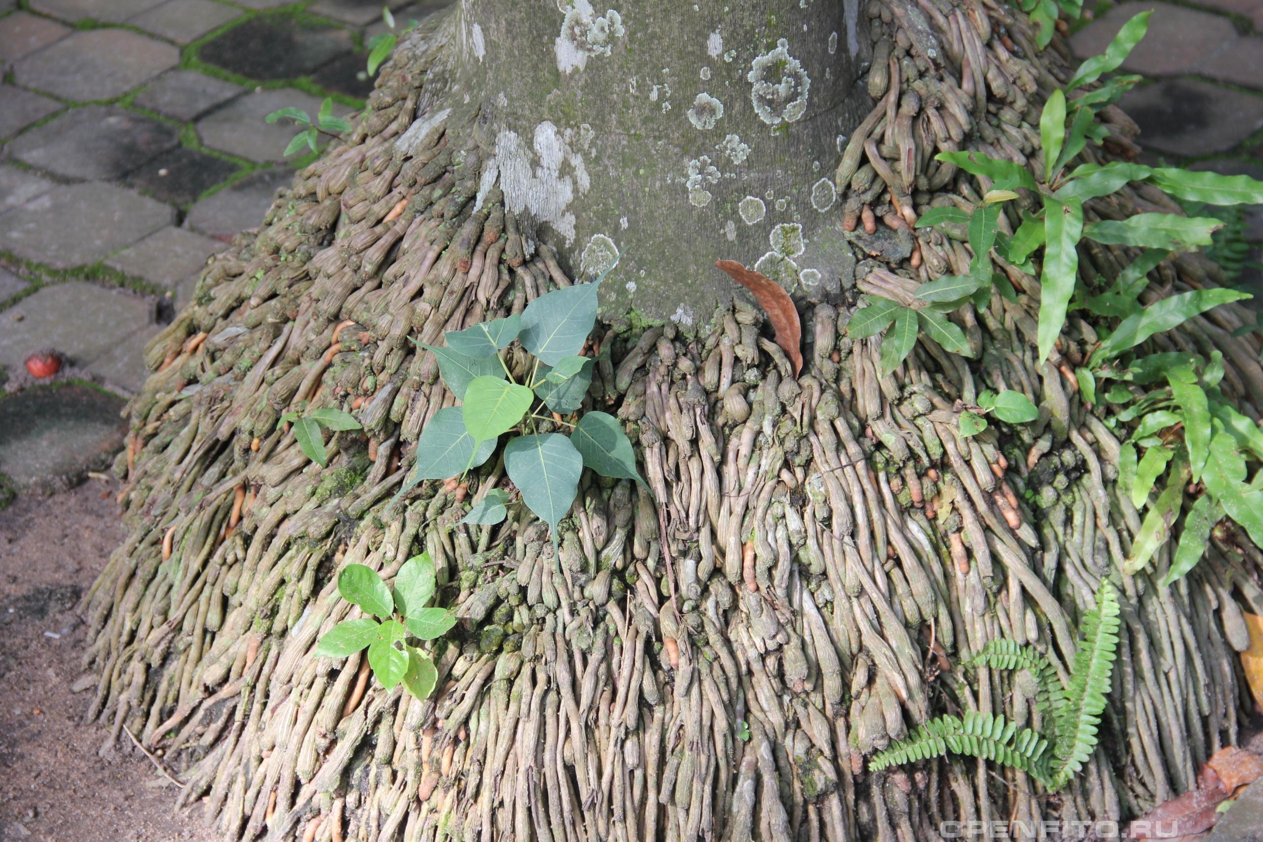 Пальма кубинская прикорневая система