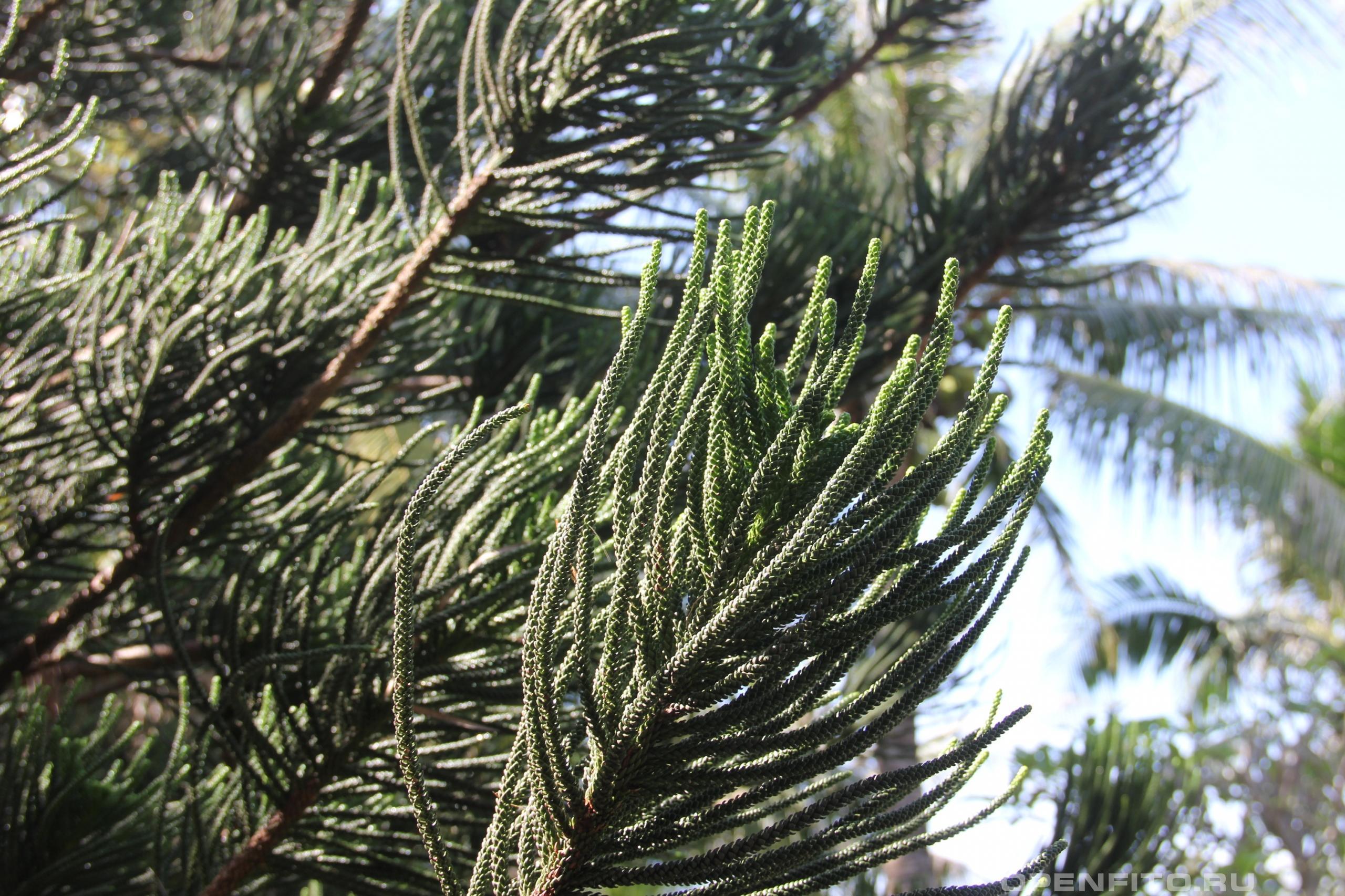 Араукария разнолистная побеги растения