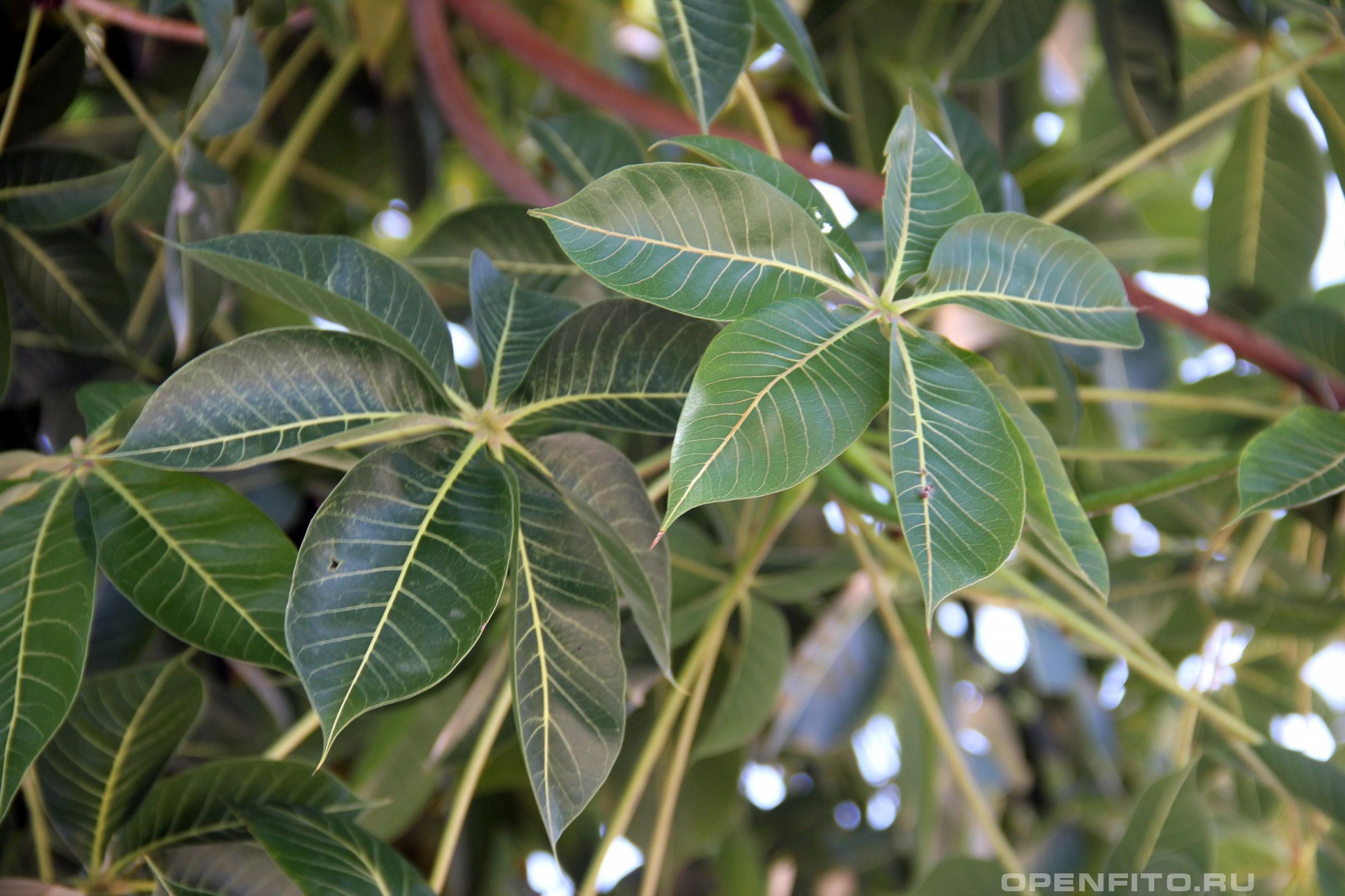 Стеркулия вонючая листья