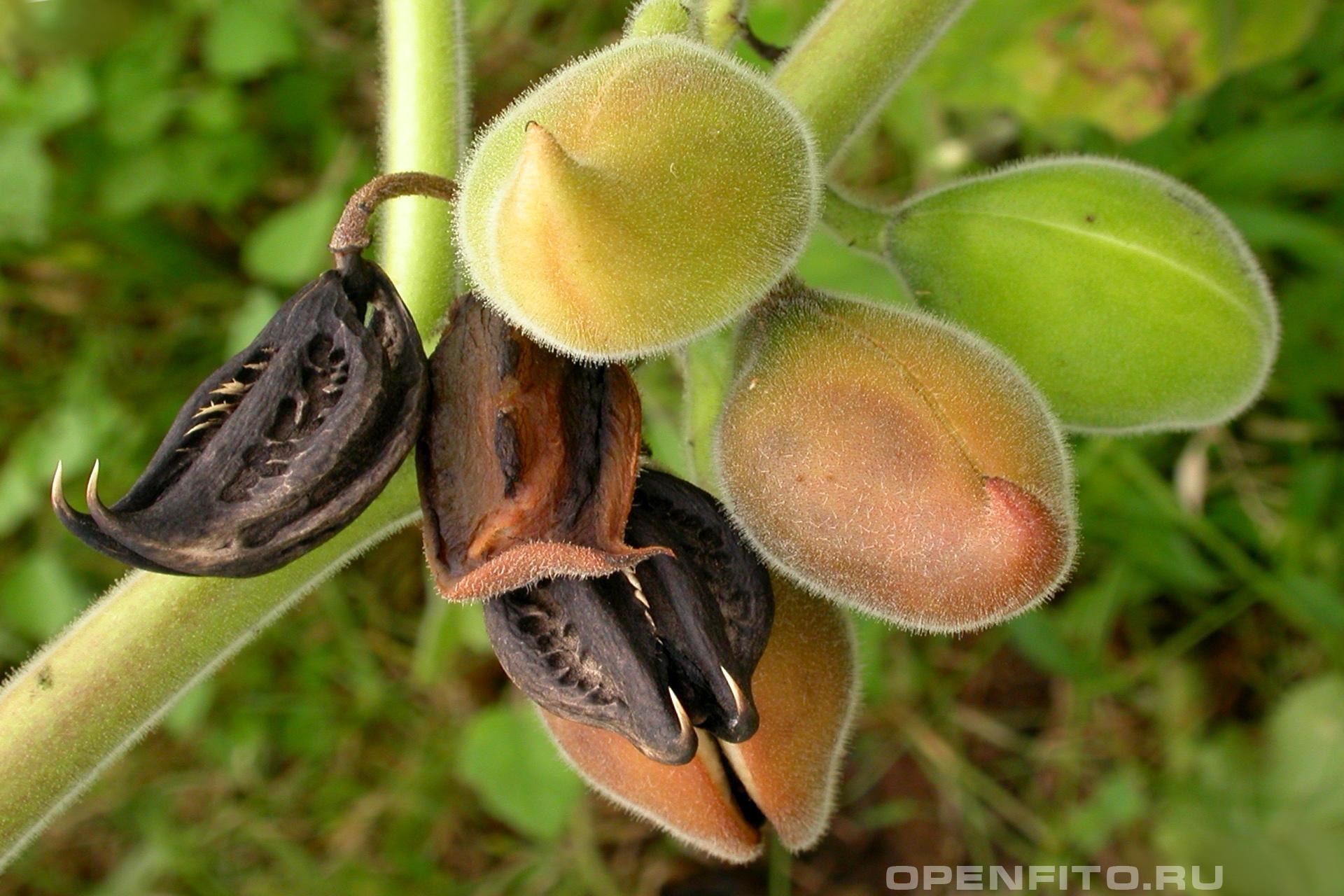 Мартиния душистая Лекарственное садовое растение из-за своих плодов ее называют Коготь дьявола