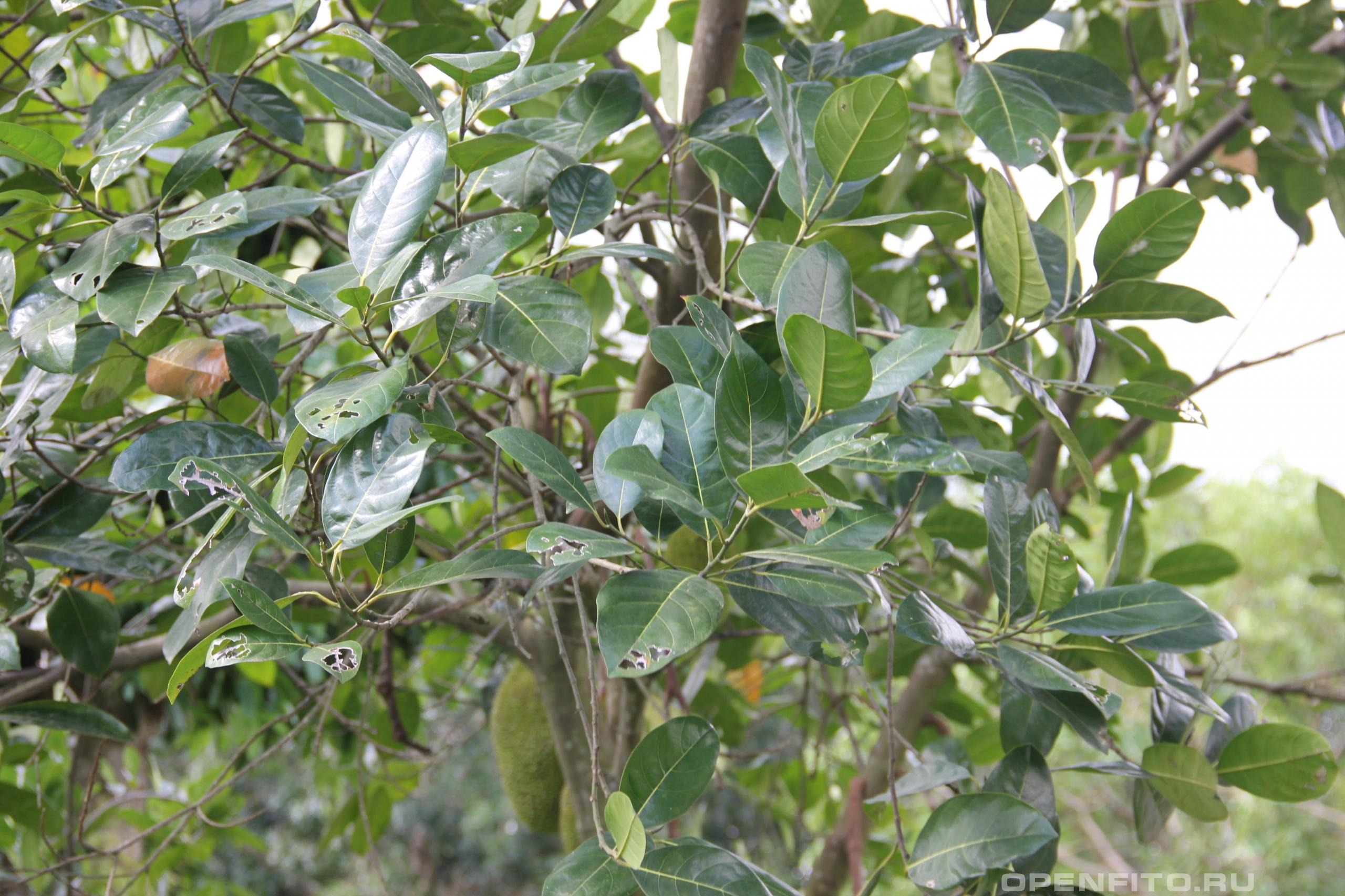 Артокарпус разнолистный листья