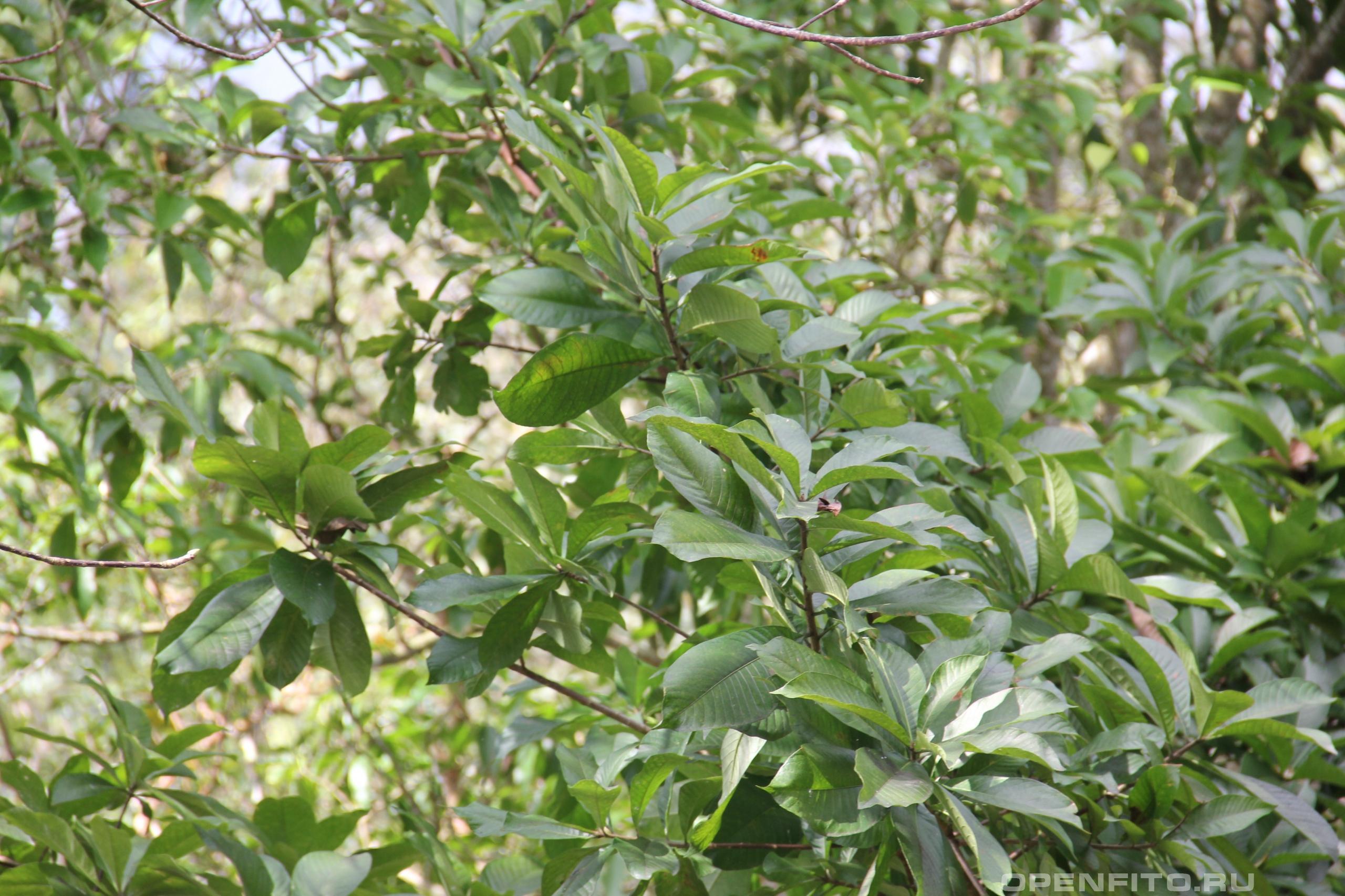 Курупита гвианская листья вечнозеленого дерева
