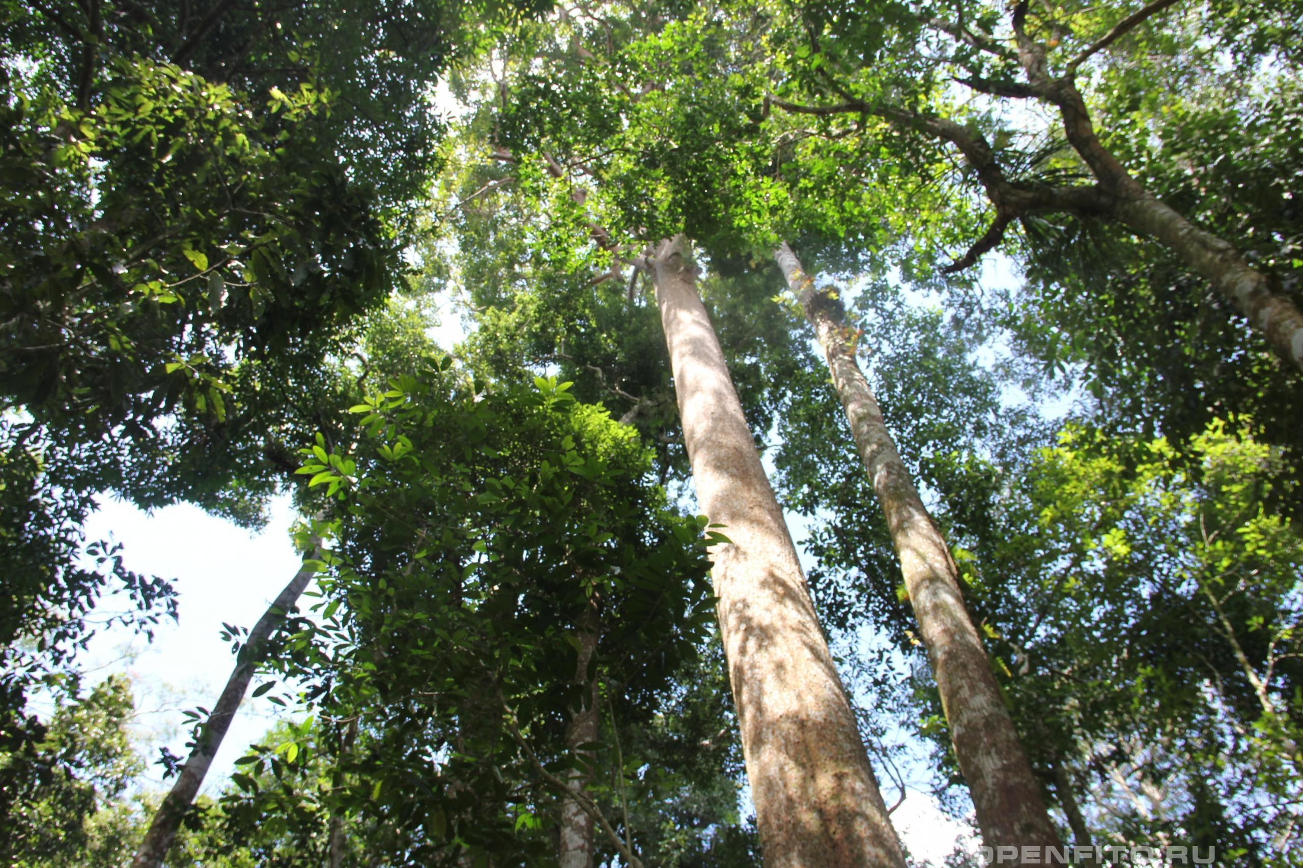 Свитения махагони ствол дерева